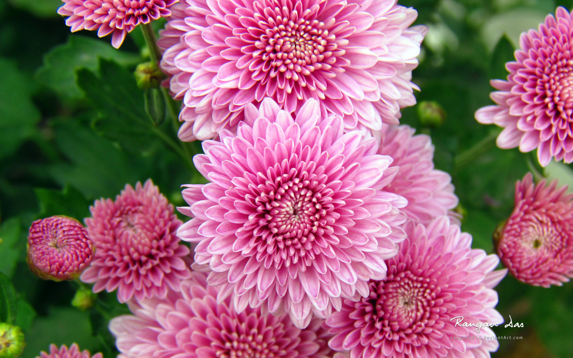 Free Photo Beautiful Pink Flowers Nature Gentle Pink Free