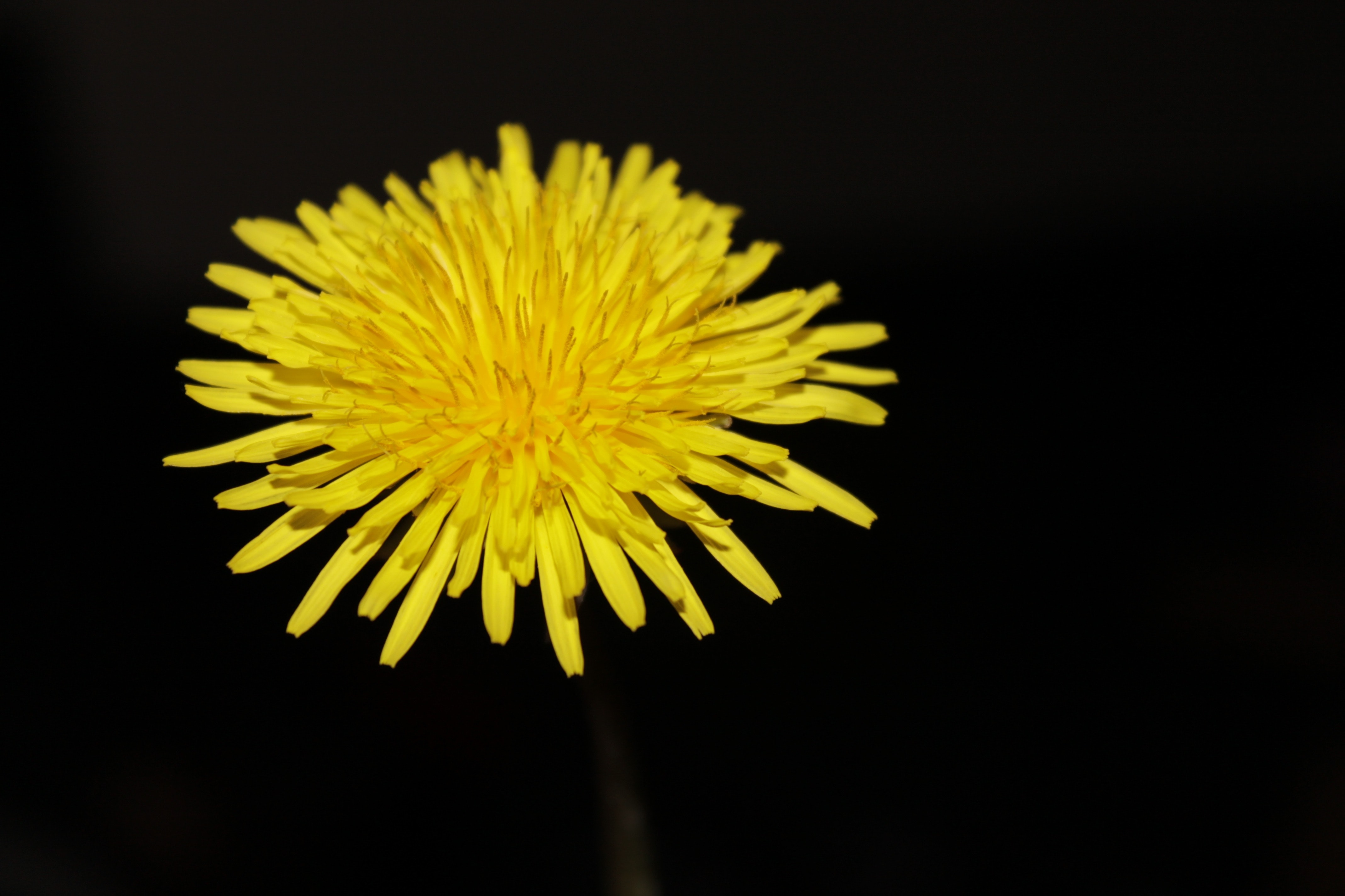 Free Photo Close Photography Of Yellow Aster Nature Plant