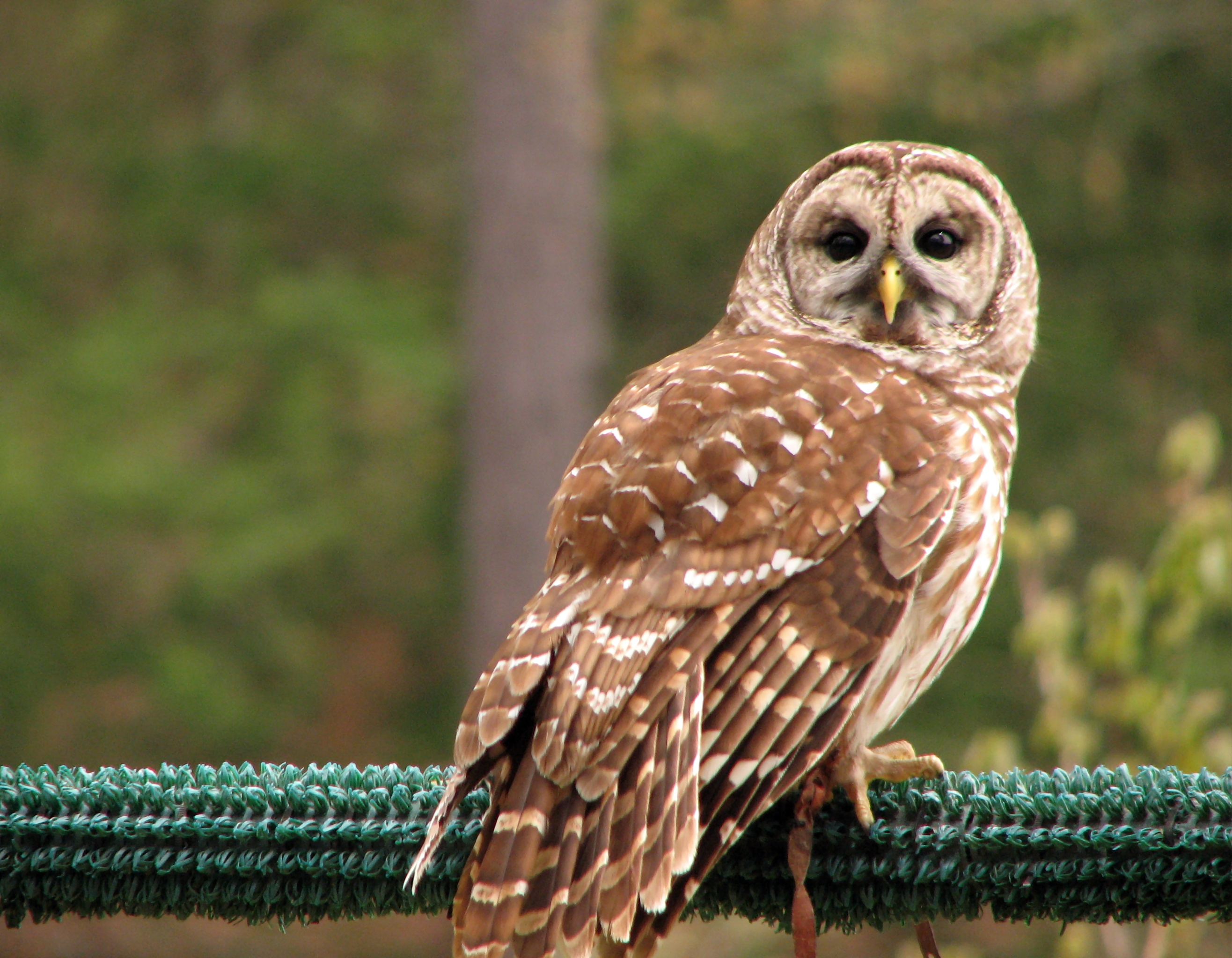 Close-up of a barred owl photo