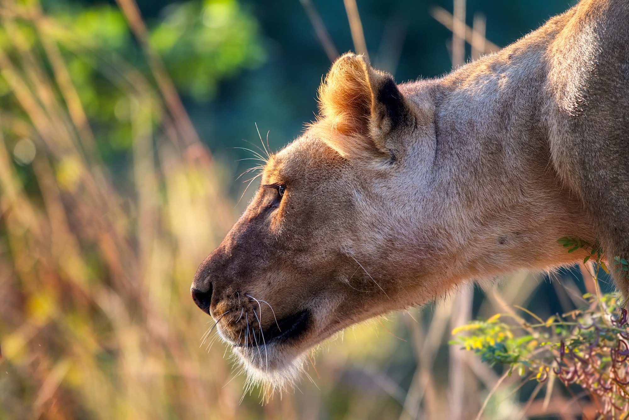 Close-up of a lioness photo