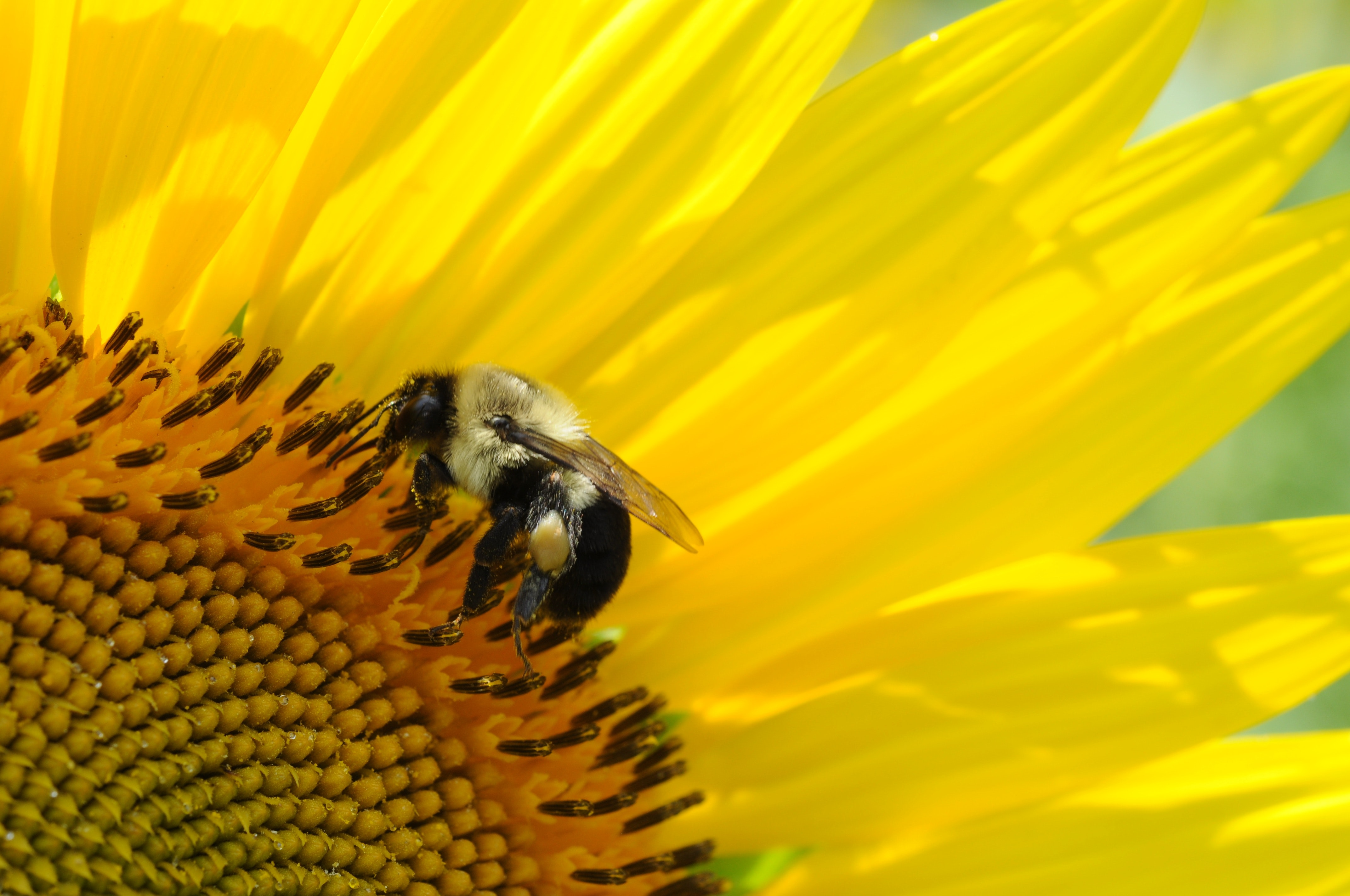 Close-up of bee on yellow flower photo