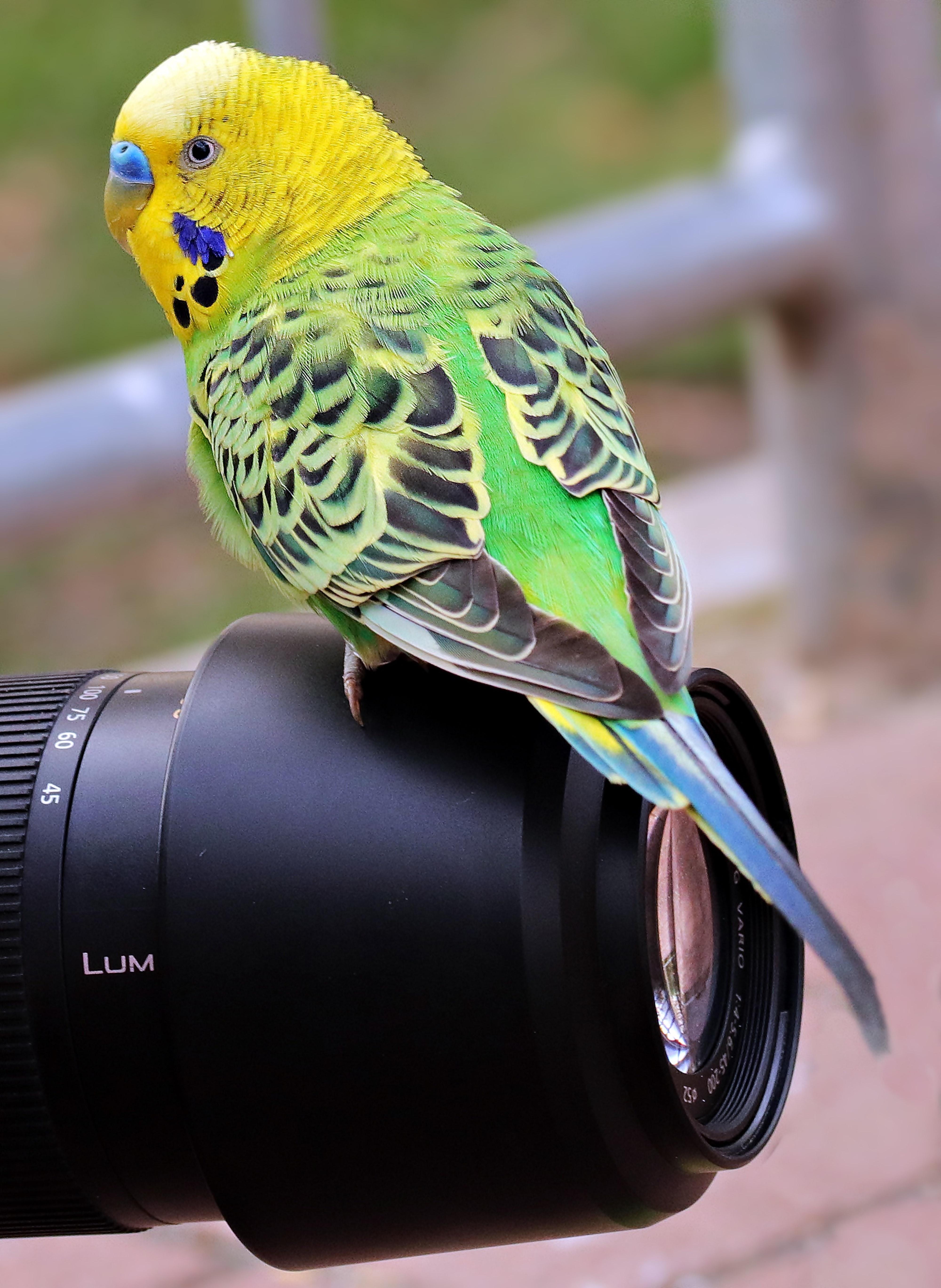 Close-up of Bird, Animal, Parrot, Yellow, Wildlife photography, HQ Photo