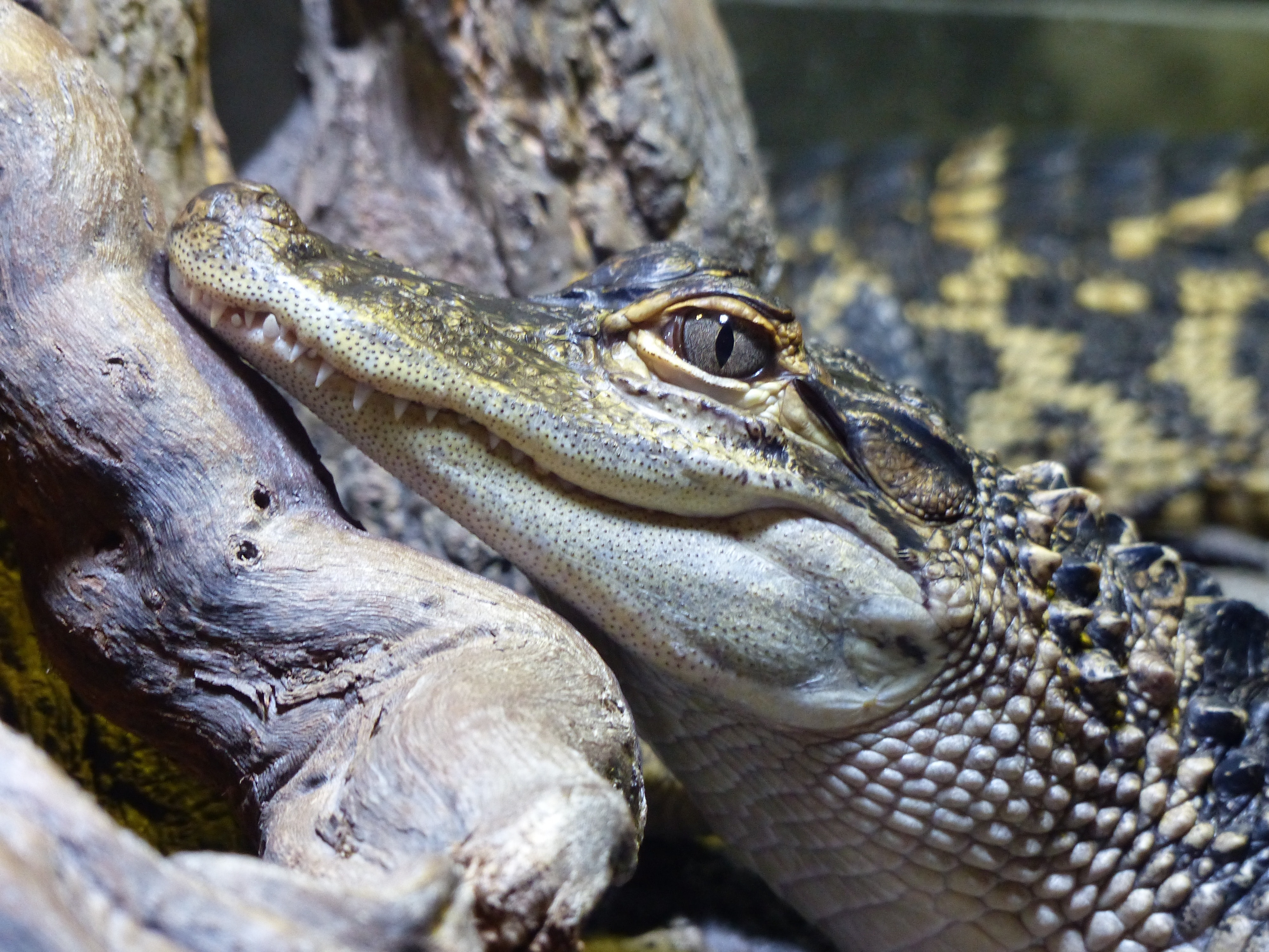 Close-up of Crocodile, Portrait, Wood, Wildlife, Wilderness, HQ Photo