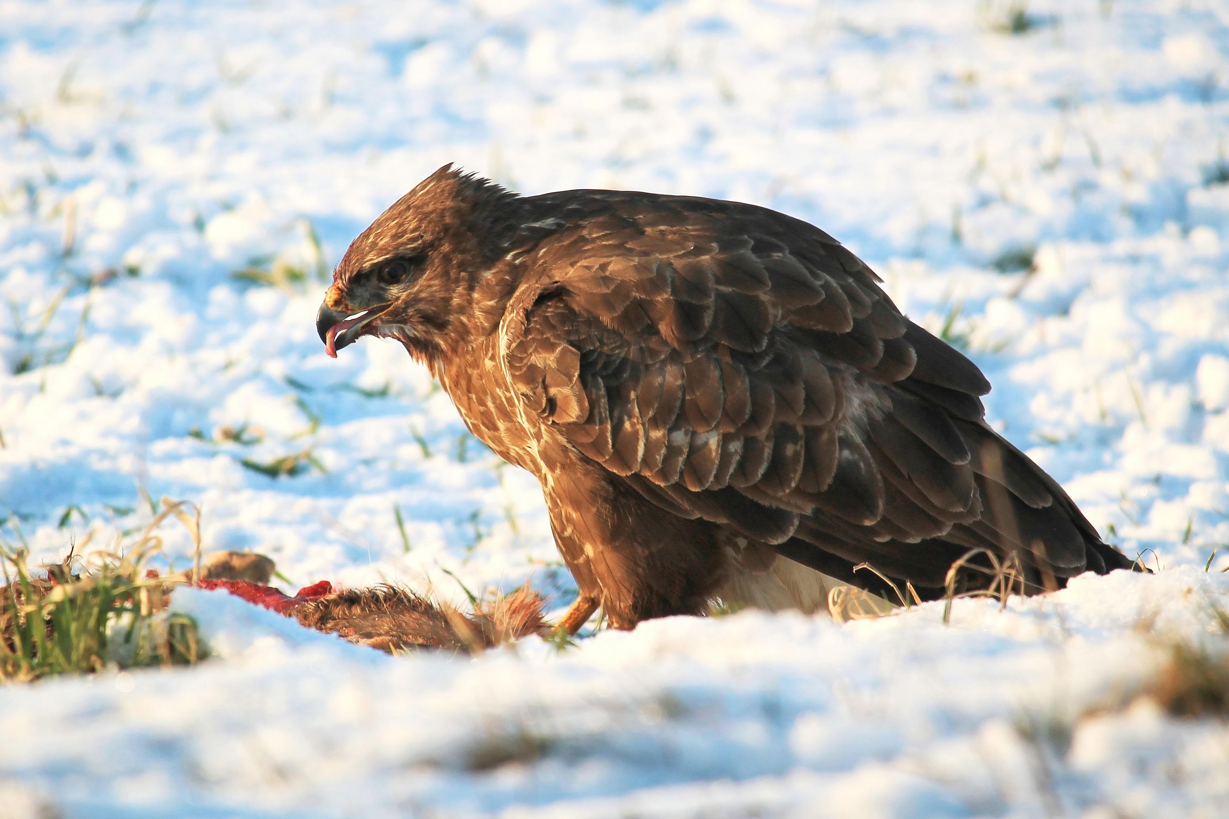 Close-up of Eagle, Flight, Winter, Wildlife, Wild, HQ Photo