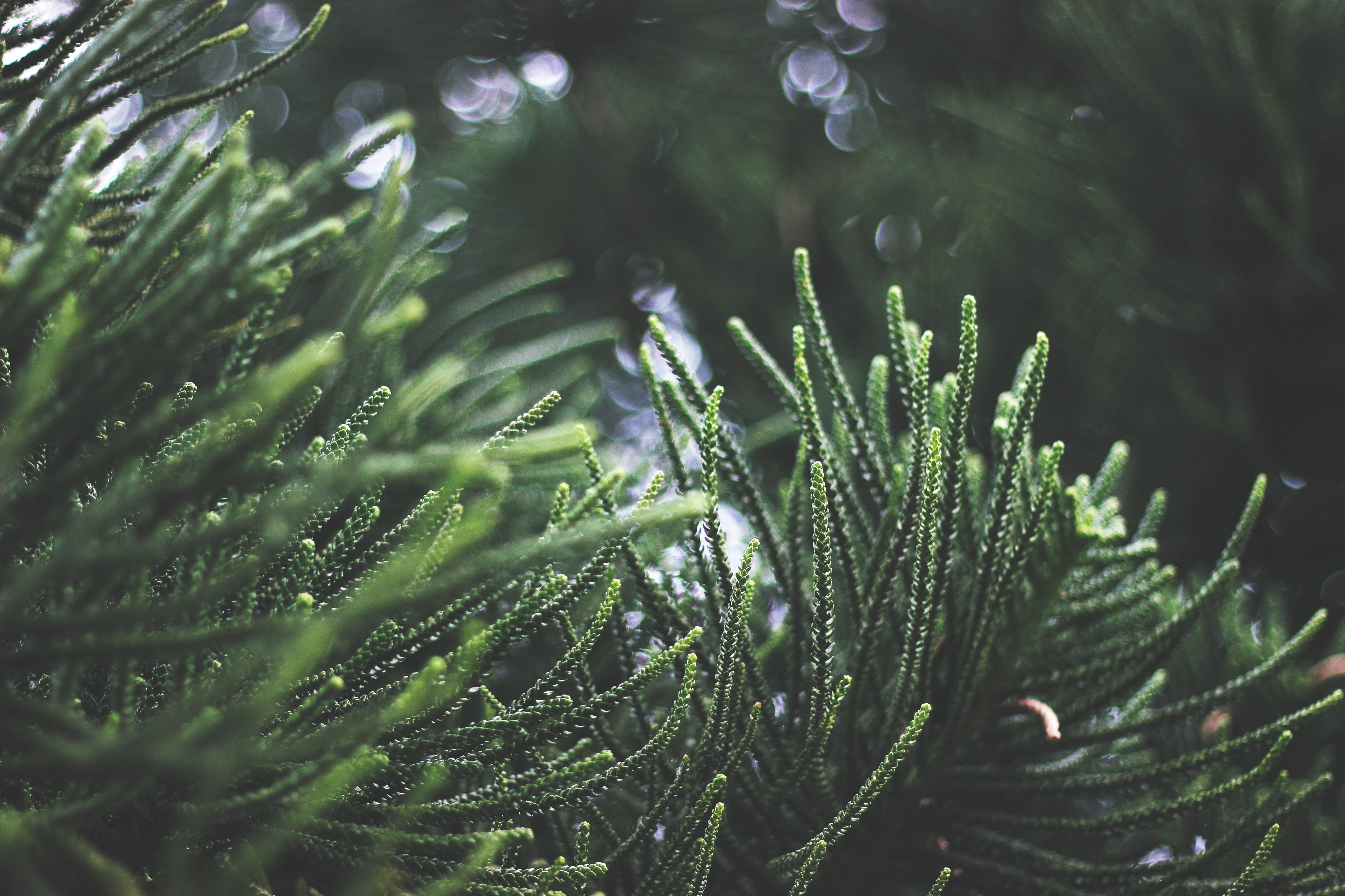 Close-up of Fresh Green Plant, Blur, Growth, Trees, Spruce, HQ Photo