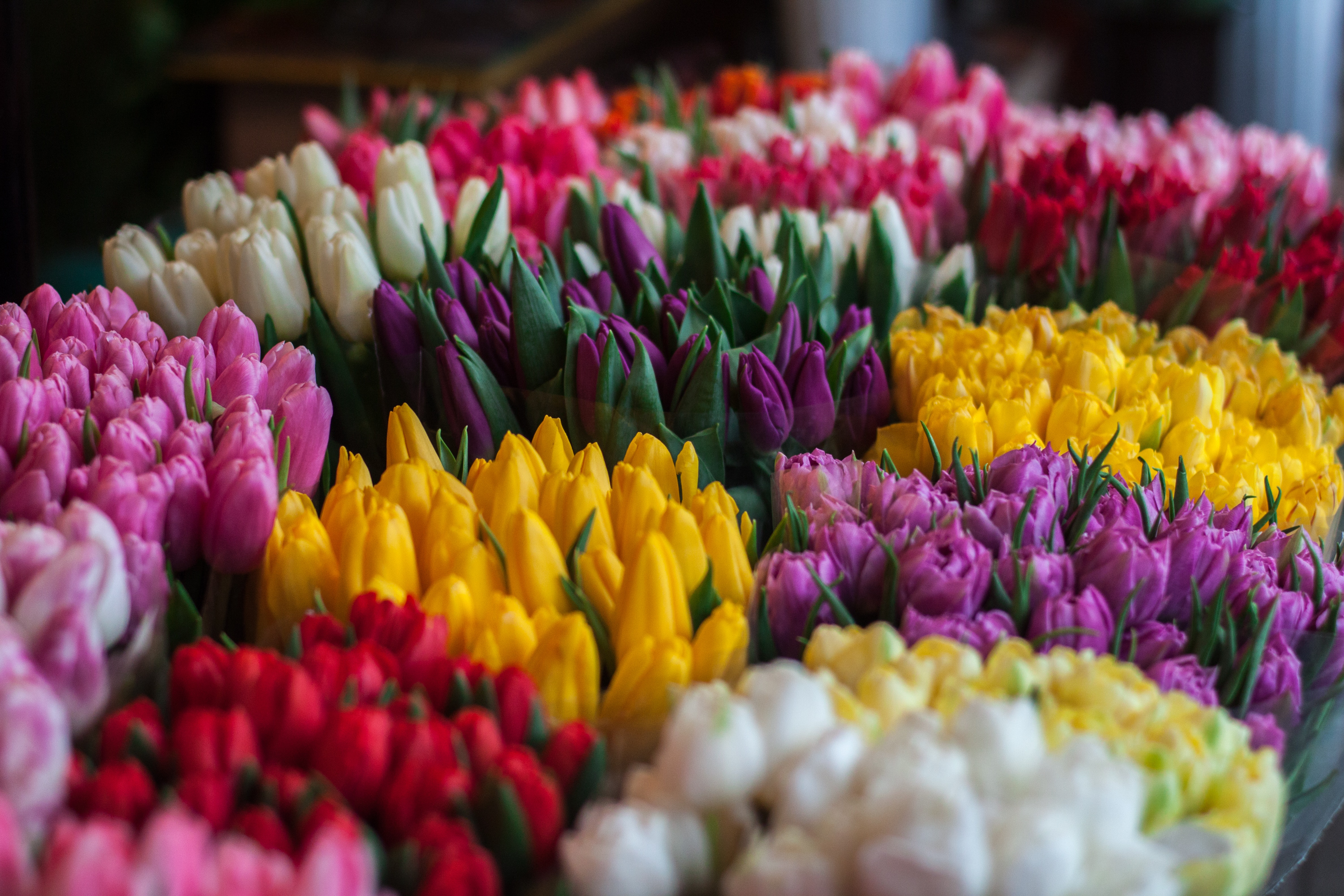 Close-up of Multi Colored Tulips, Blossom, Red, White, Tulips, HQ Photo