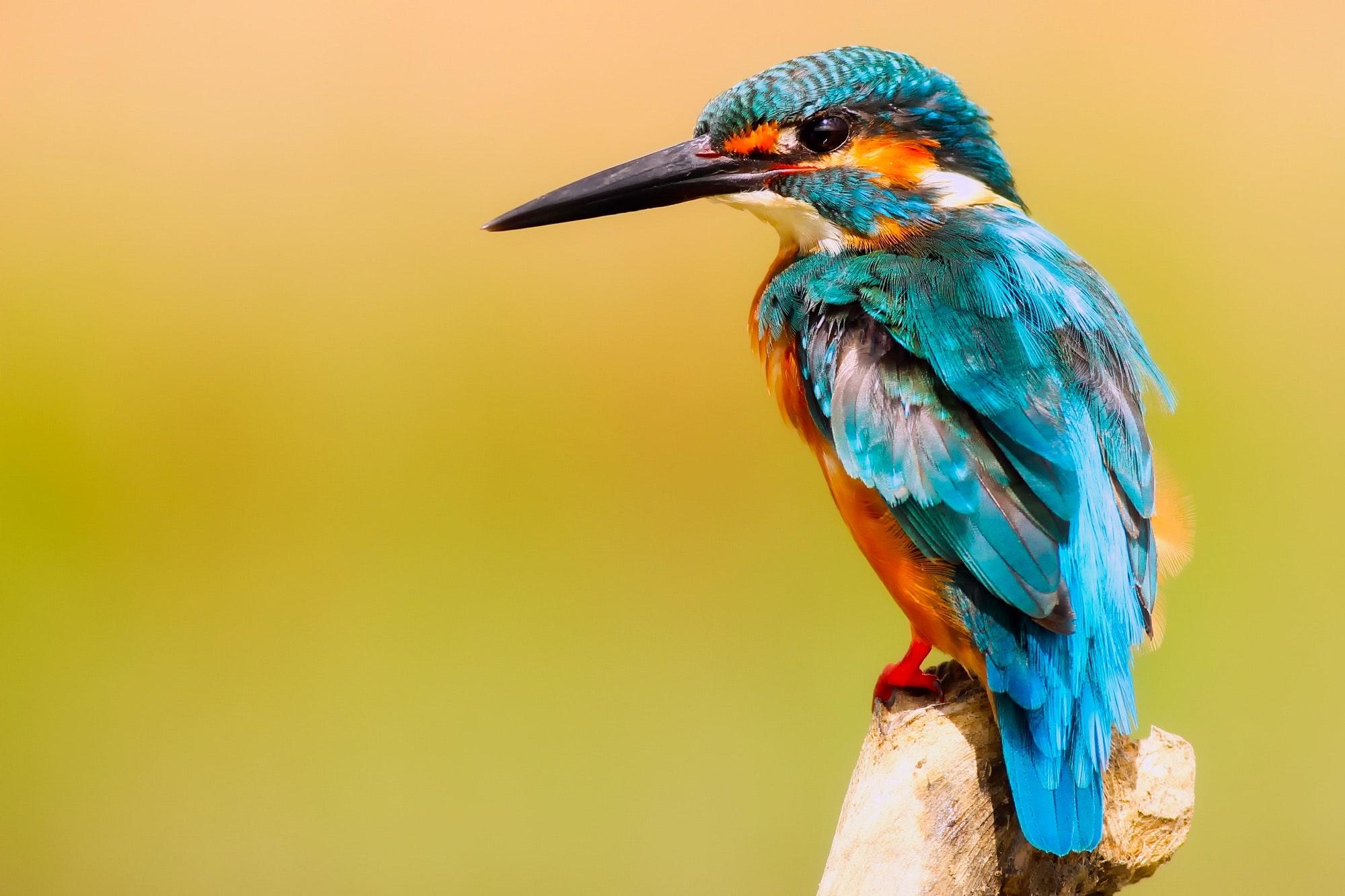 Close-up of Peacock, Animal, Macro, Wings, Wildlife, HQ Photo