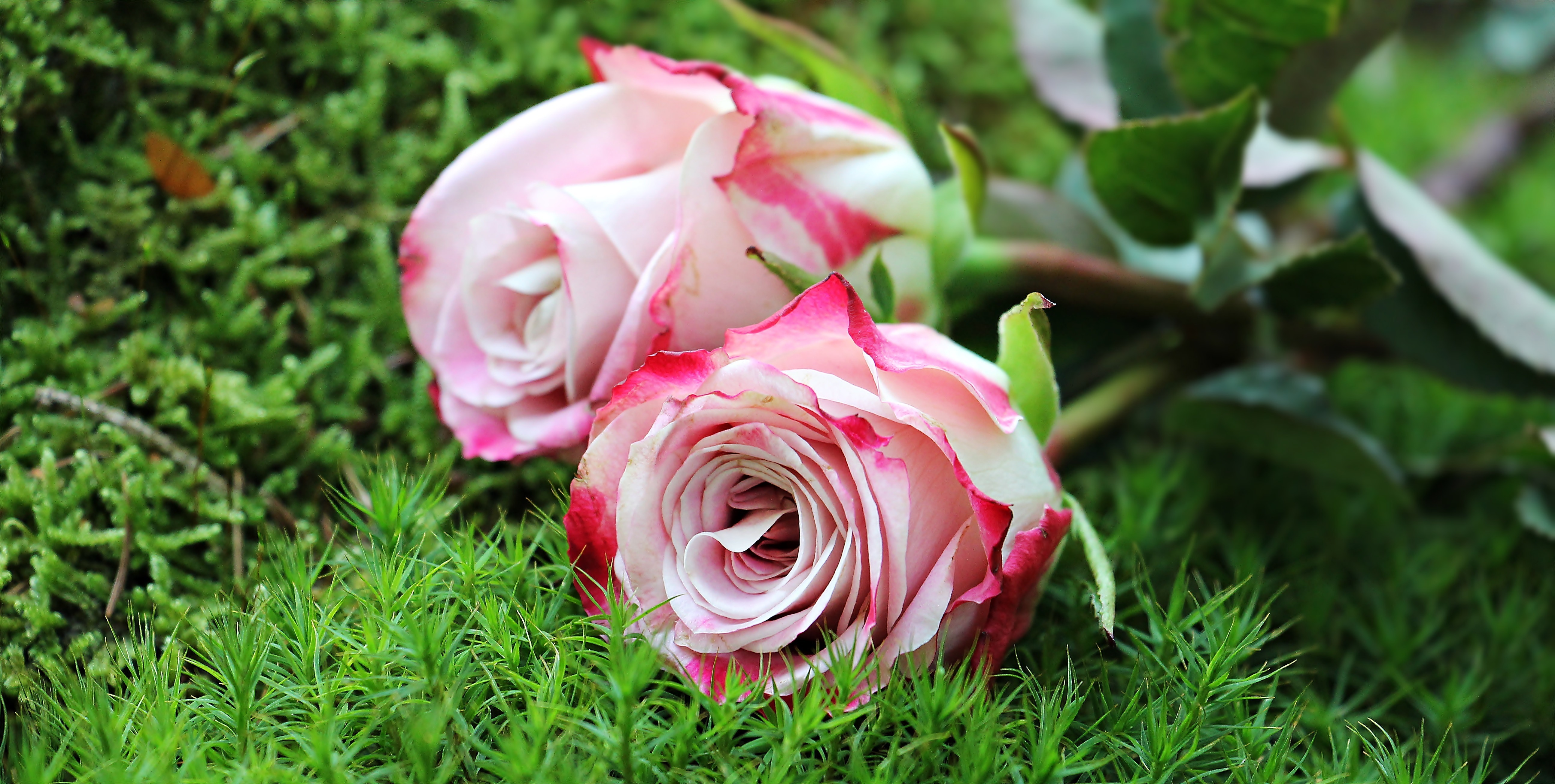 Close-up of pink rose flower photo