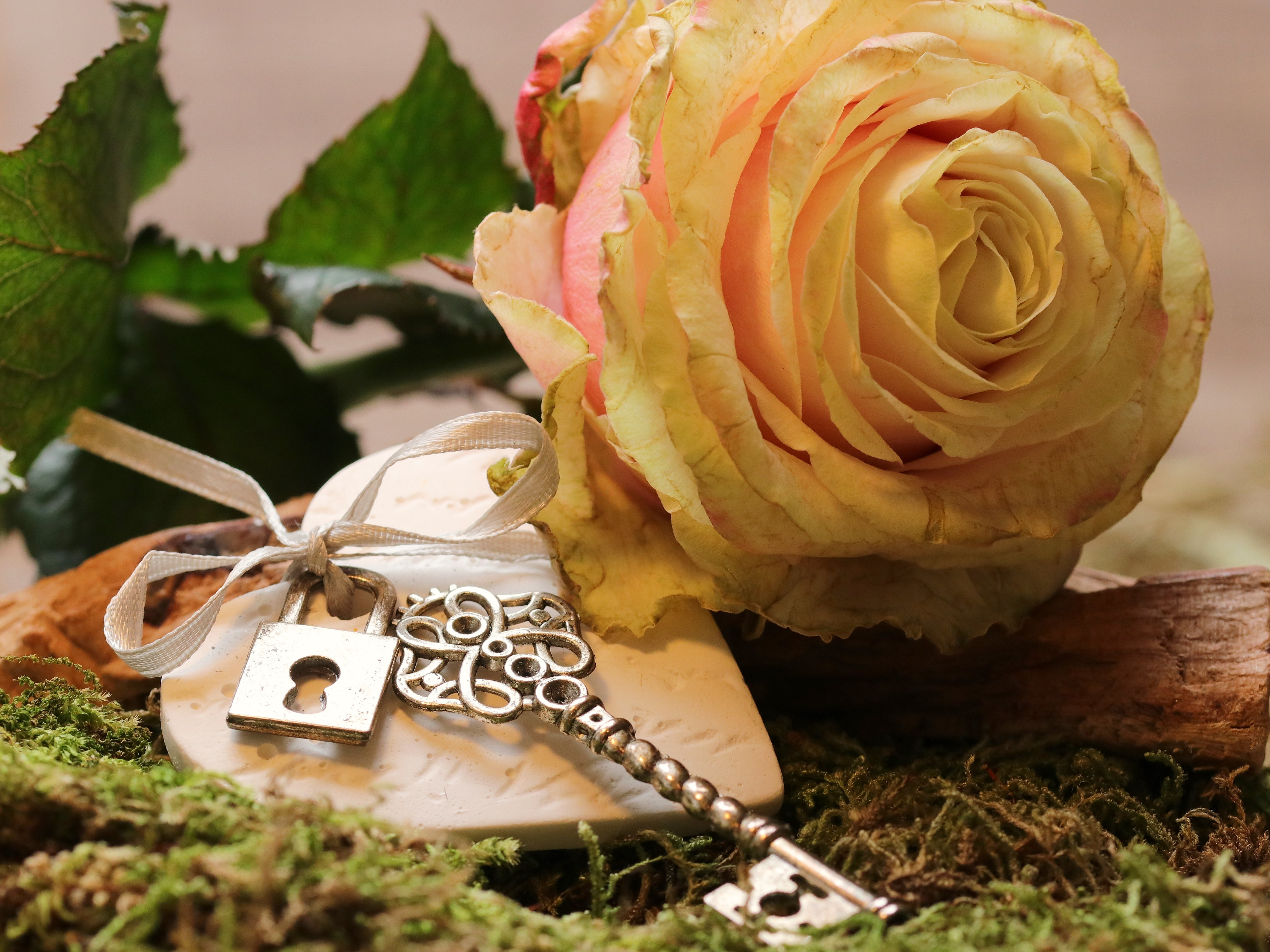 Close-up of Roses, Beautiful, Heart, Valentine, Sweet, HQ Photo