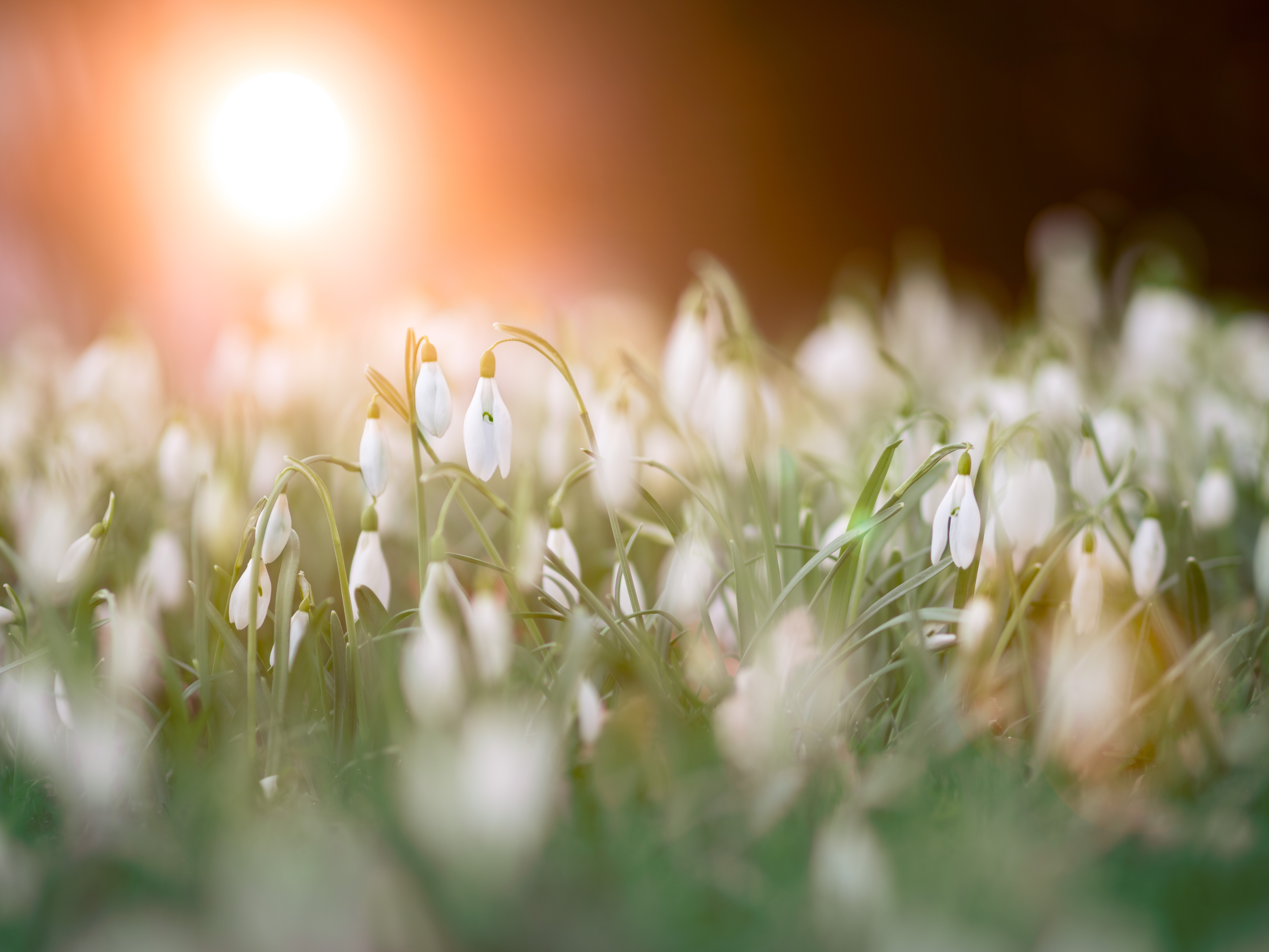 Free Photo Close Up Photo Of A Bed Of White Flowers Season