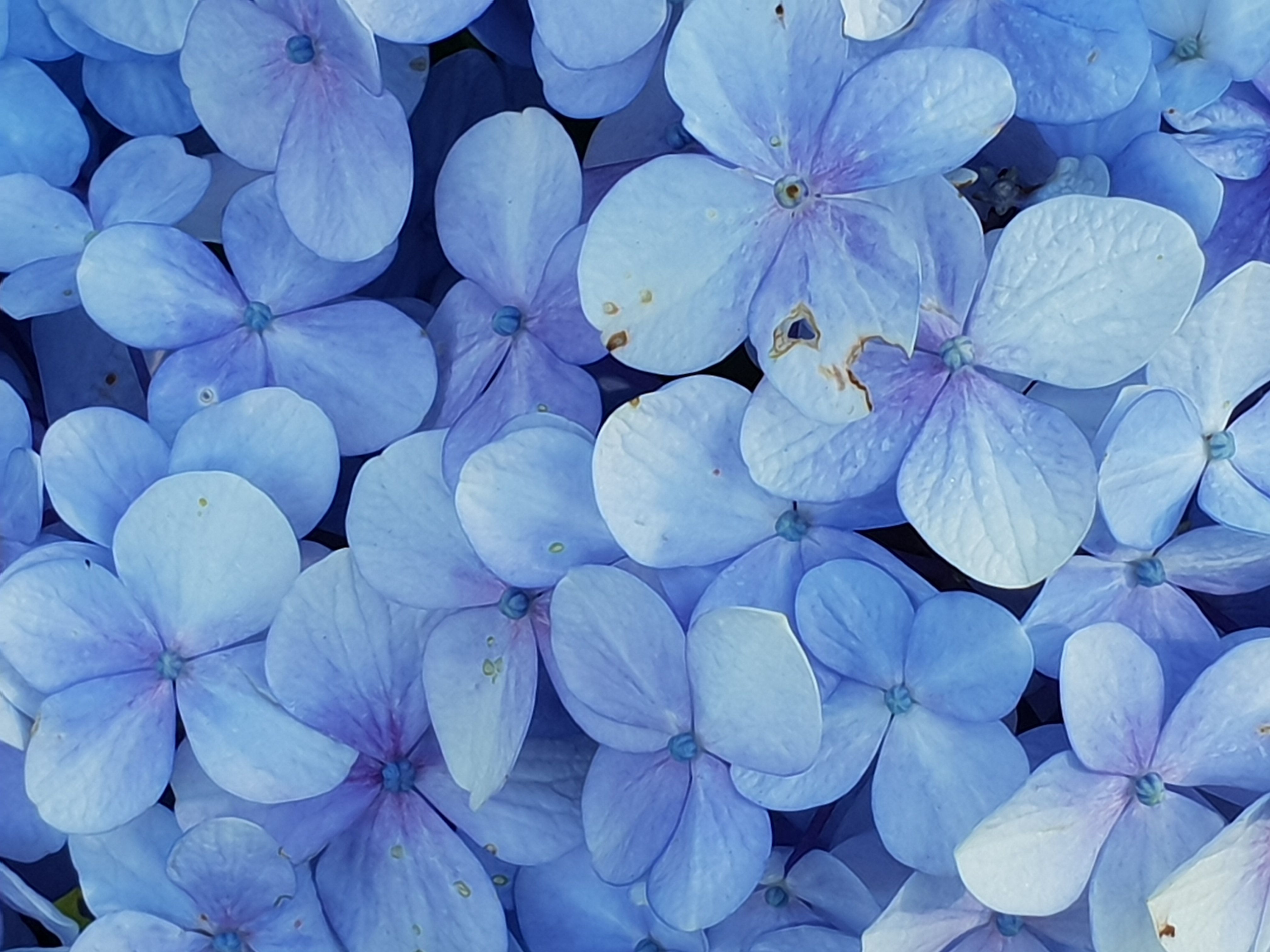 Close-up Photo of Blue Petaled Flowers, Nature, Leaves, Growth, Outdoors, HQ Photo