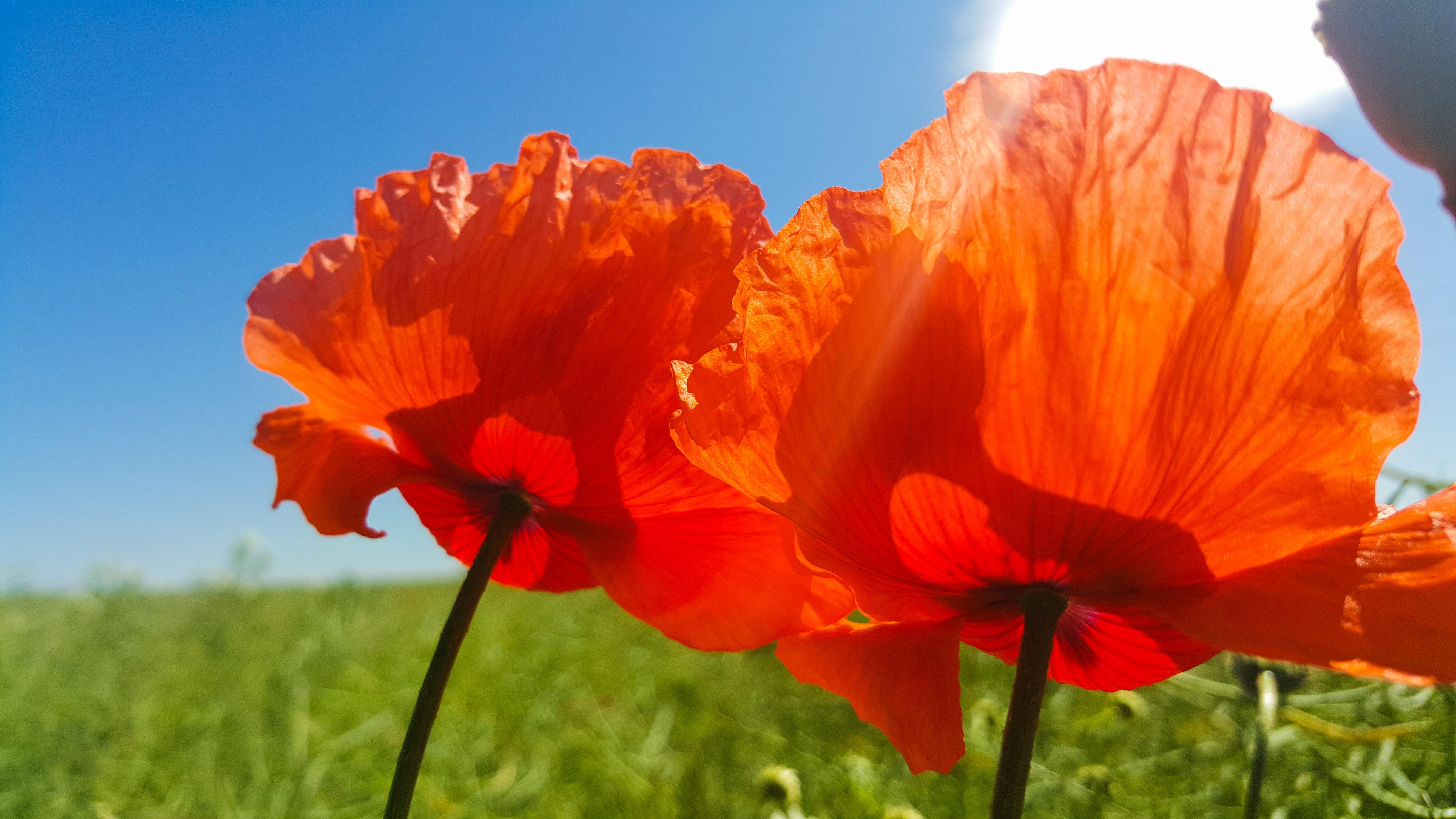Free Photo Close Up Photo Of Orange Petaled Flower Grass