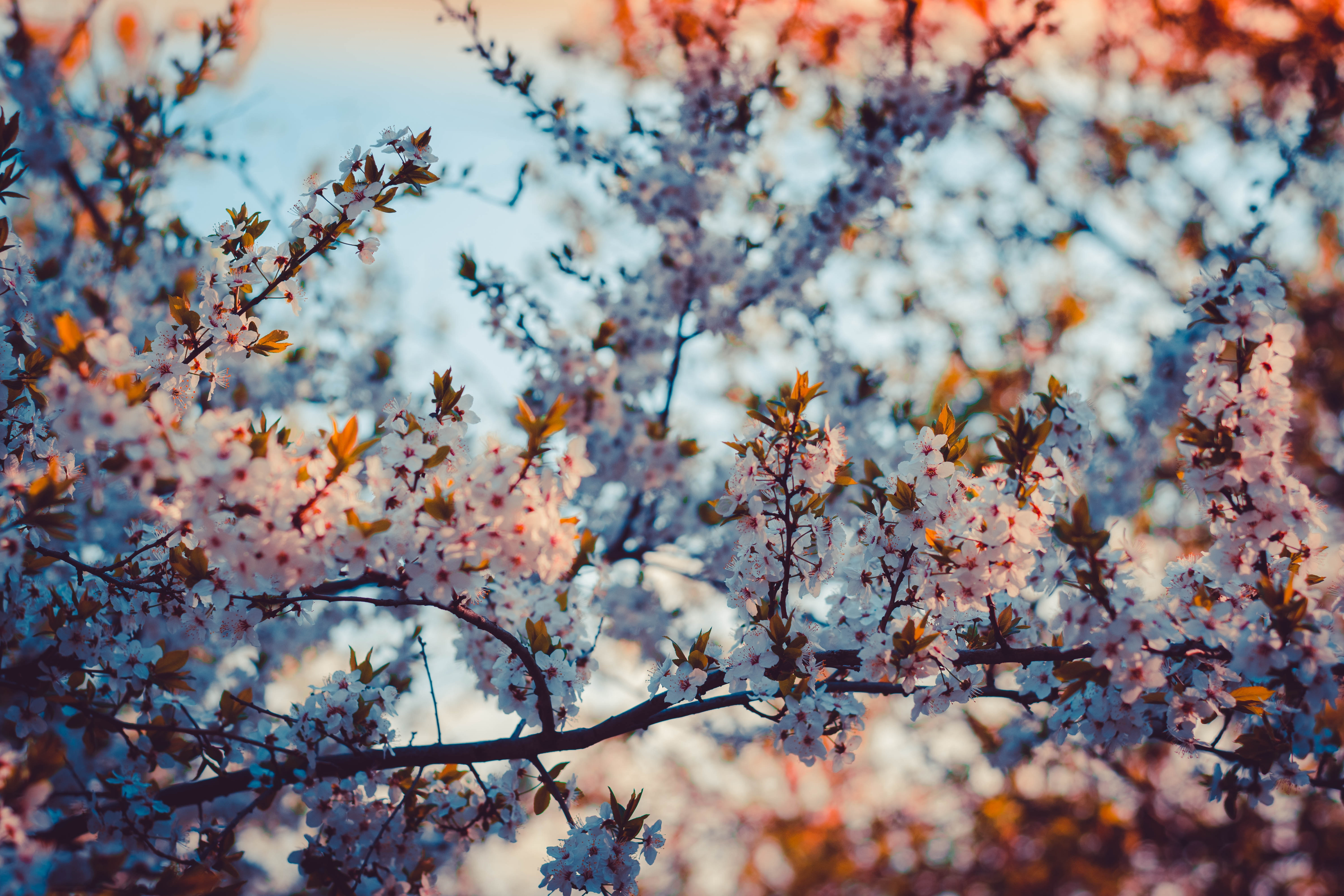 Close-up Photography of Cherry Blossom, Focus, Flowers, Flora, Hd wallpapers, HQ Photo