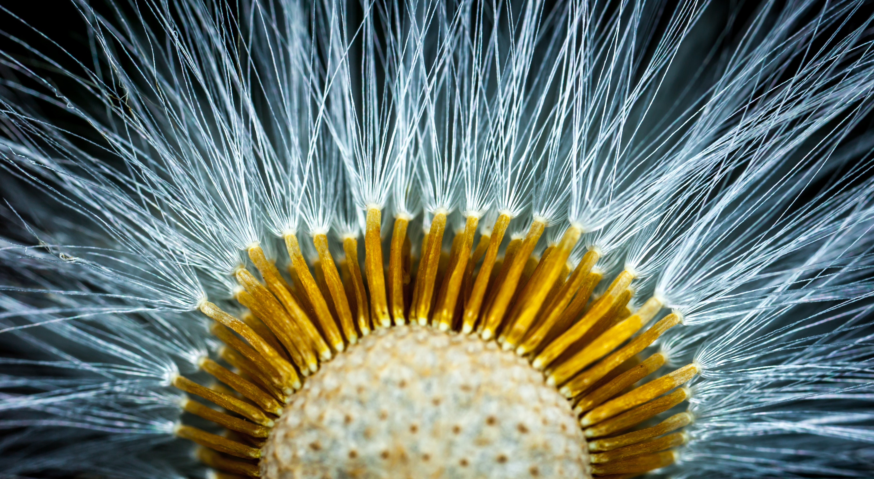 Close-up Photography of Dandelion Flower, Close -up, Colors, Flora, Flower, HQ Photo