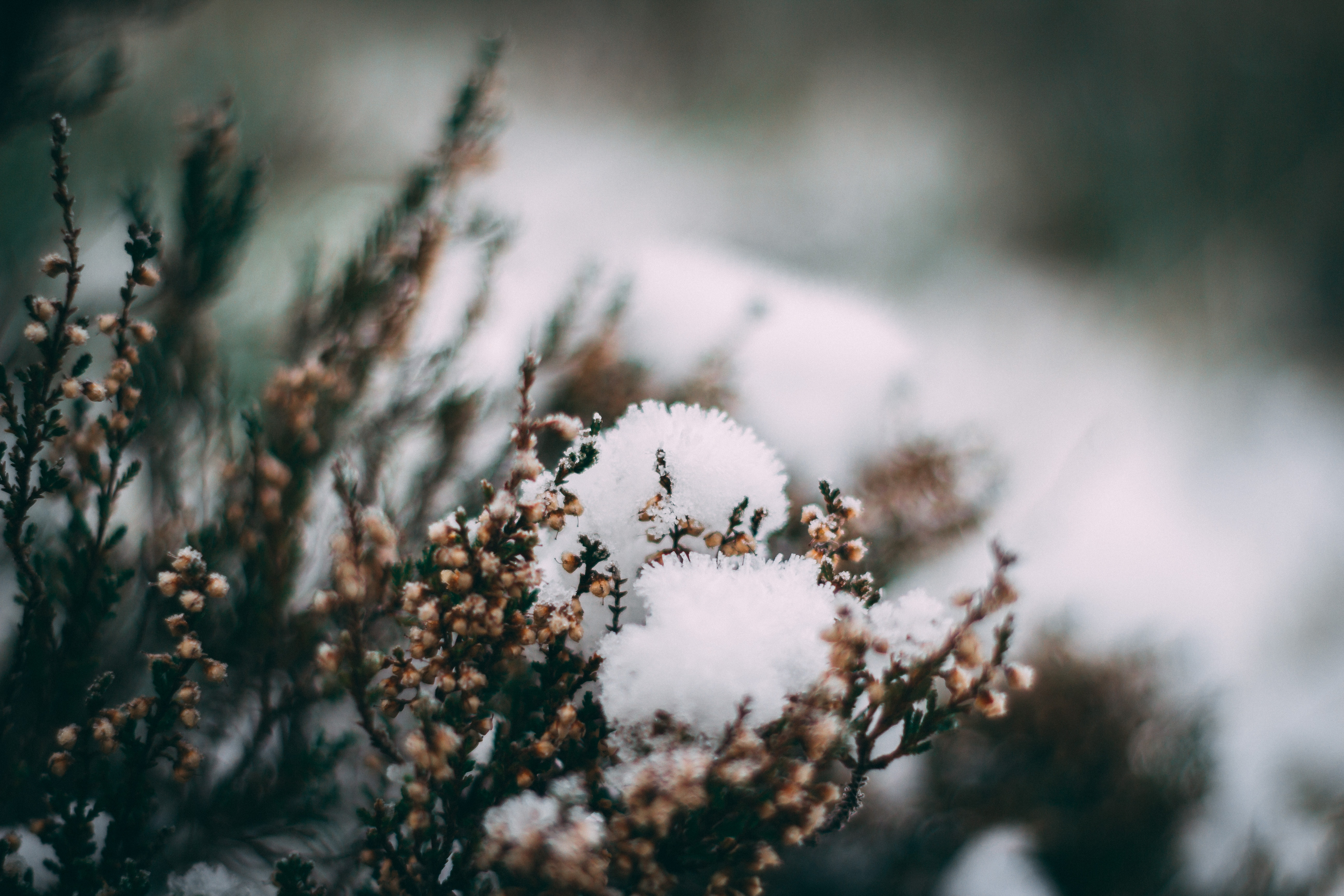 Close-up Photography of Frozen Flower, Blur, Frozen, Winter, Snowy, HQ Photo