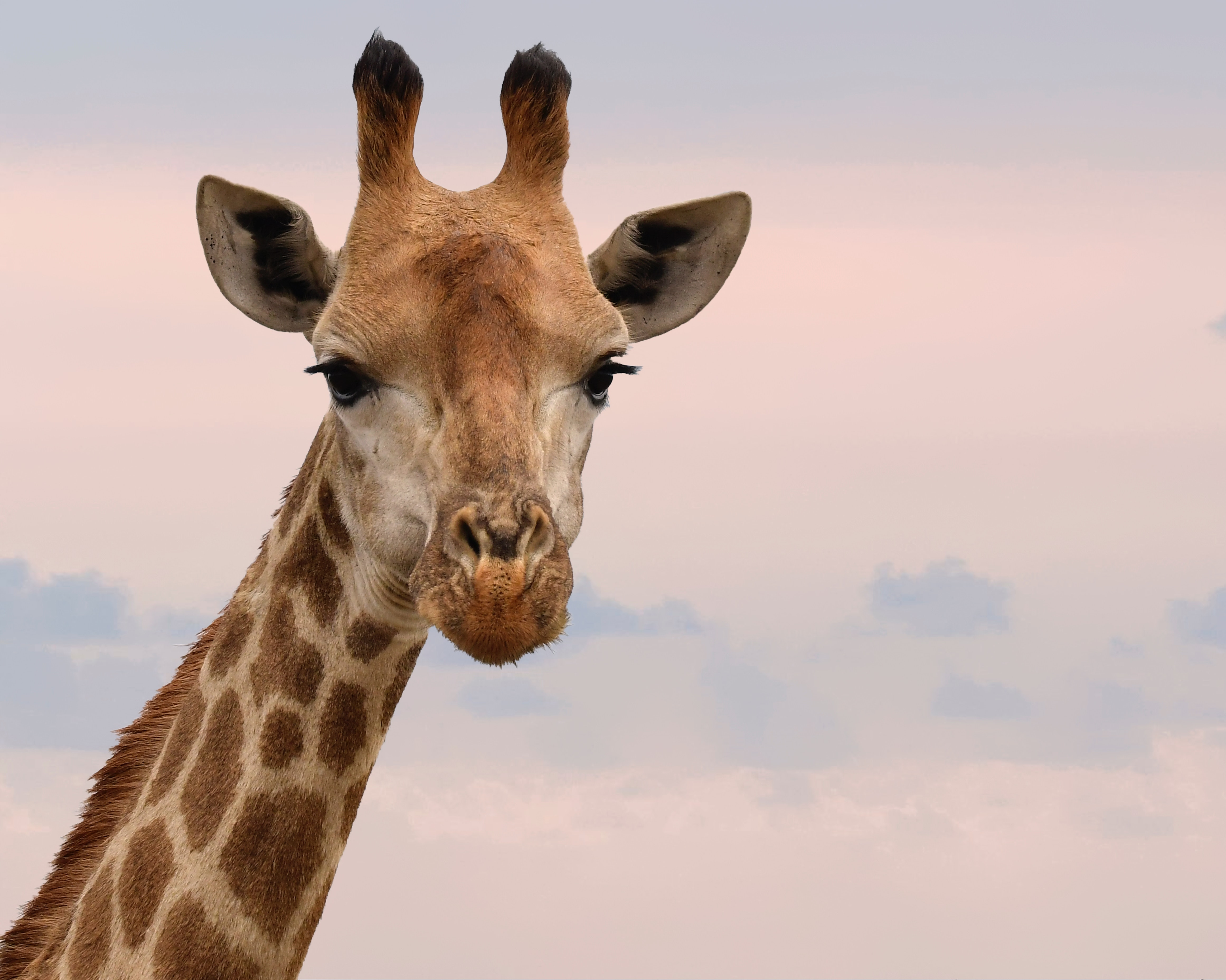 Close-Up Photography of Giraffe, Animal, Long neck, Wild animal, Sky, HQ Photo