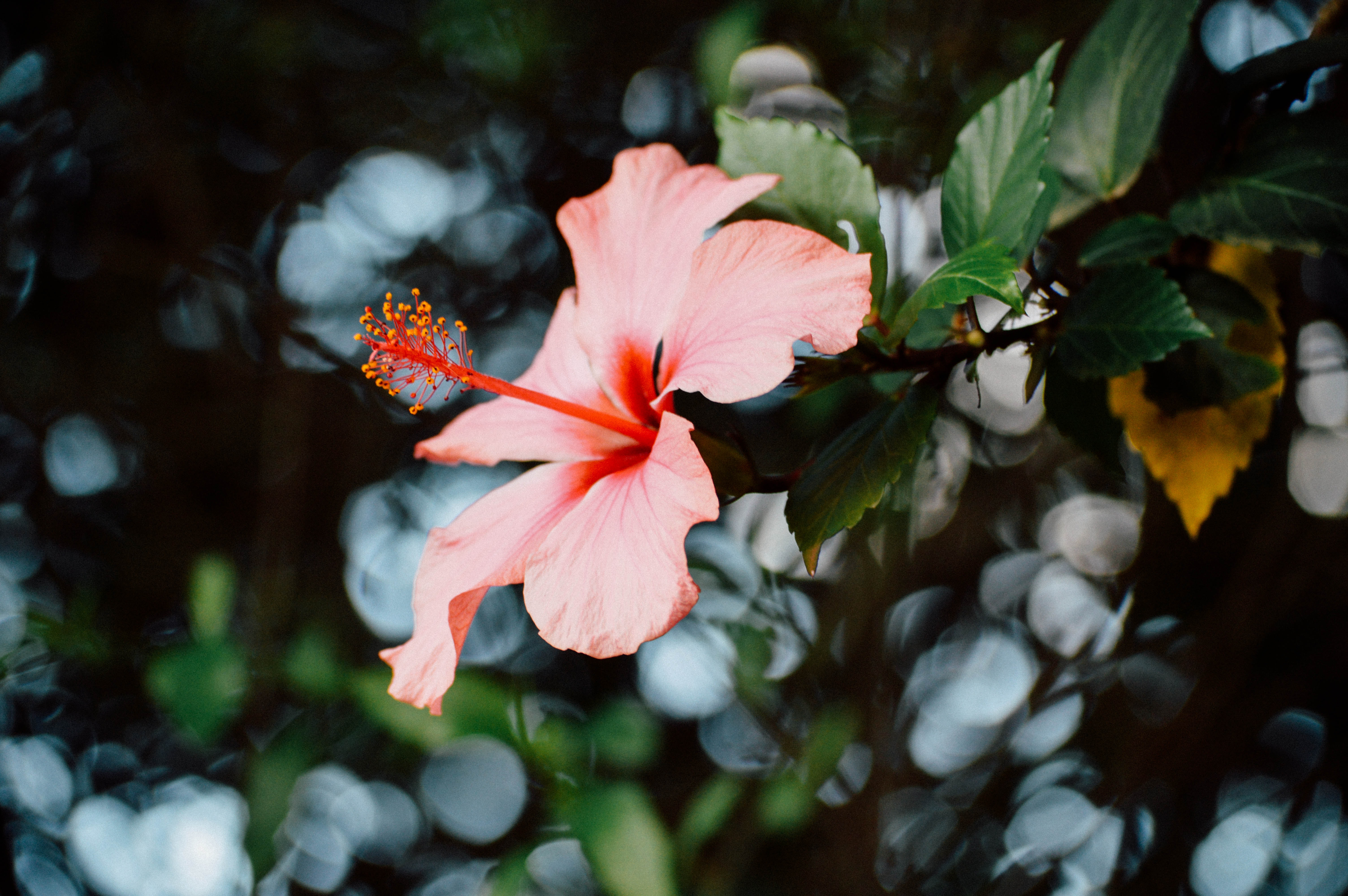 Free Photo Close Up Photography Of Hibiscus Flower Beautiful Flower Outdoors Free Download Jooinn