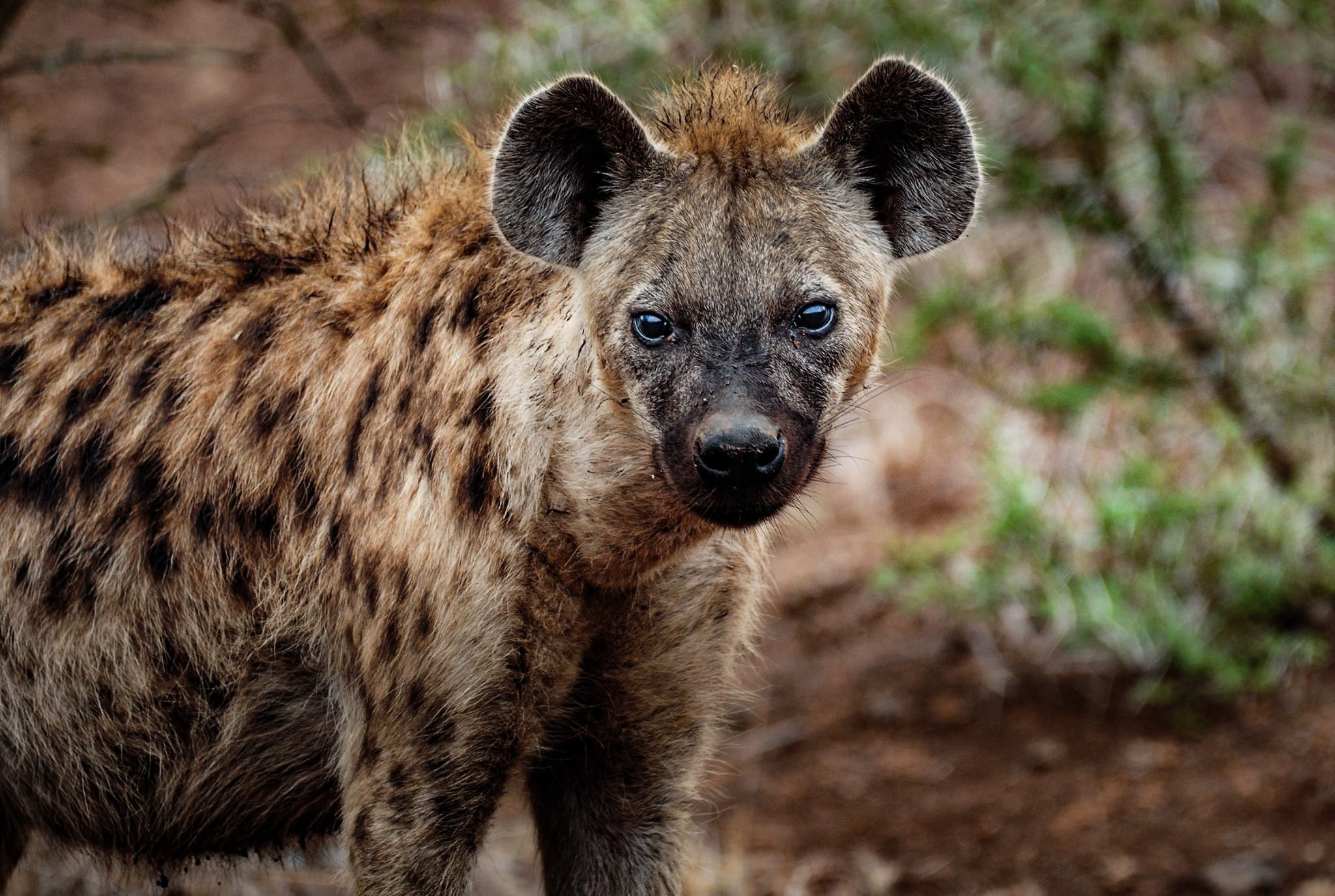Close-up photography of hyena