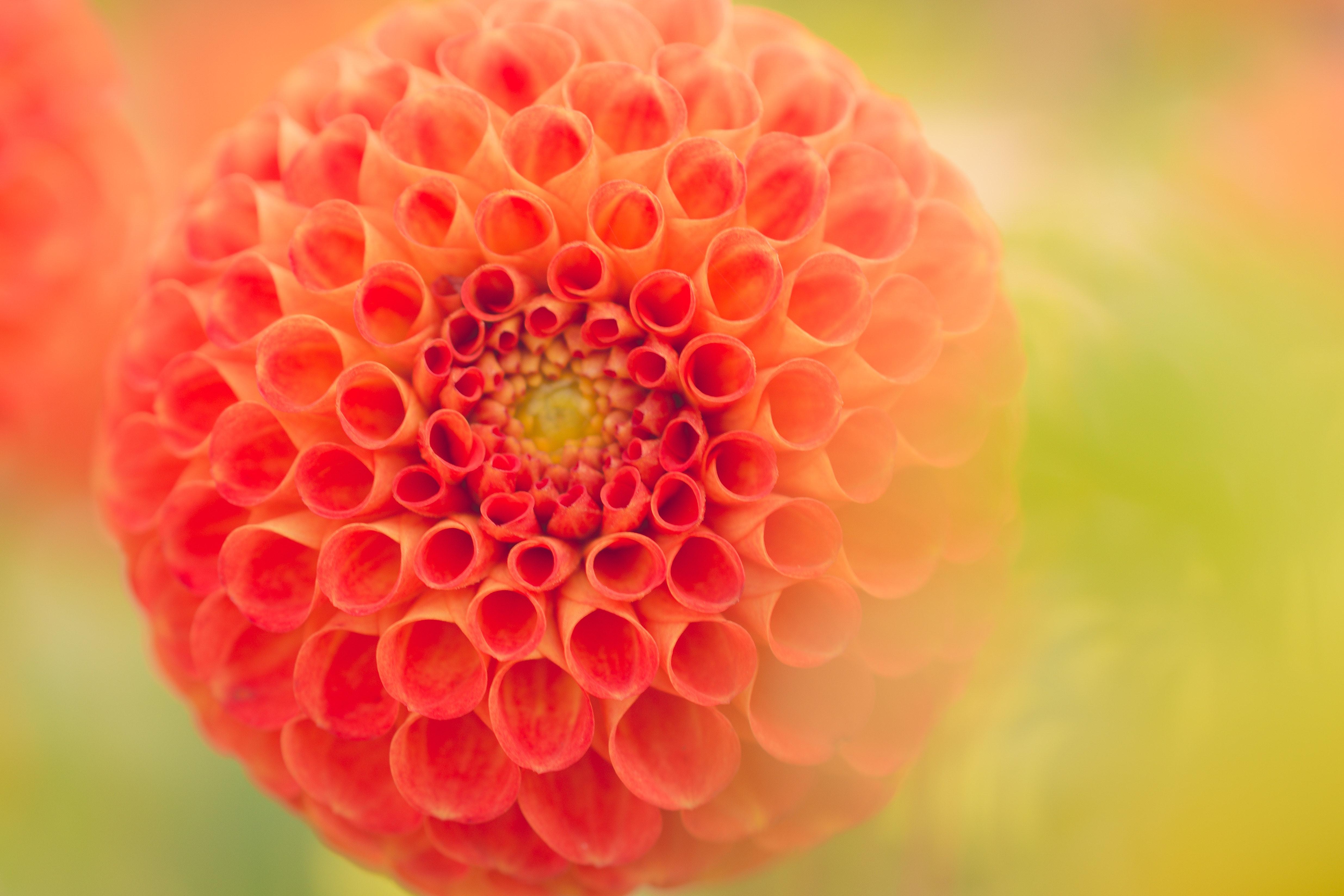 Free Photo Close Up Photography Of Orange Dahlia Flower Nature