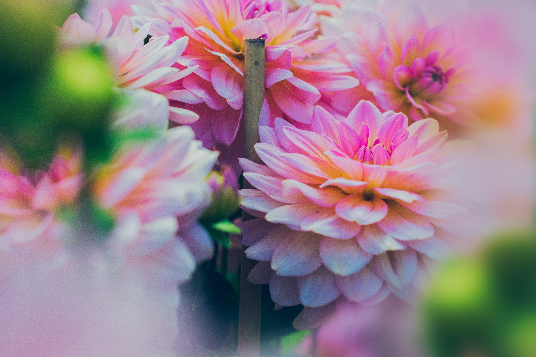 Free photo close up photography of pink dahlia flowers growth close up photography of pink dahlia flowers izmirmasajfo