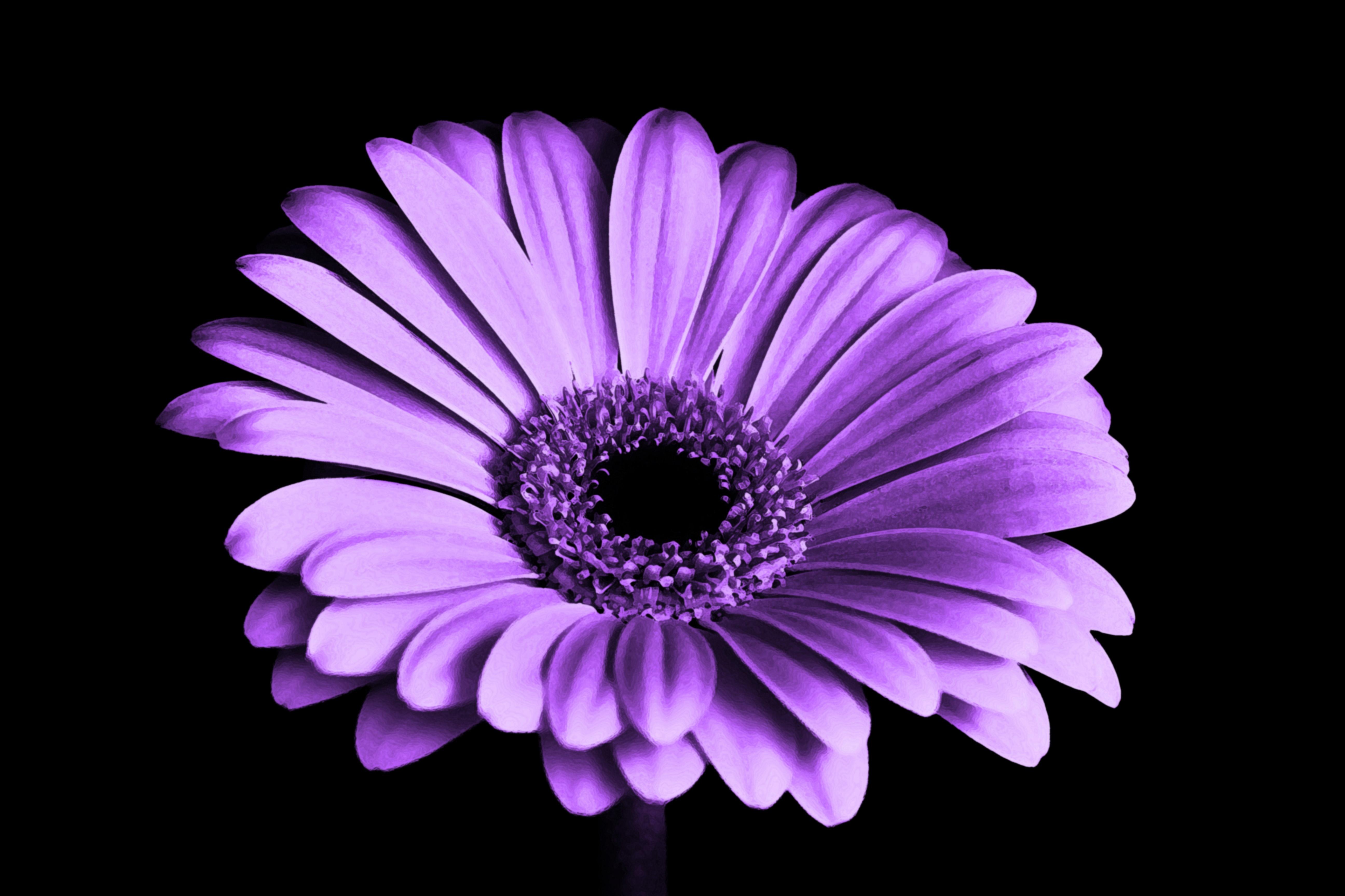 Close Up Photography of Purple Petaled Flower, Macro, Petals, Purple, Single, HQ Photo