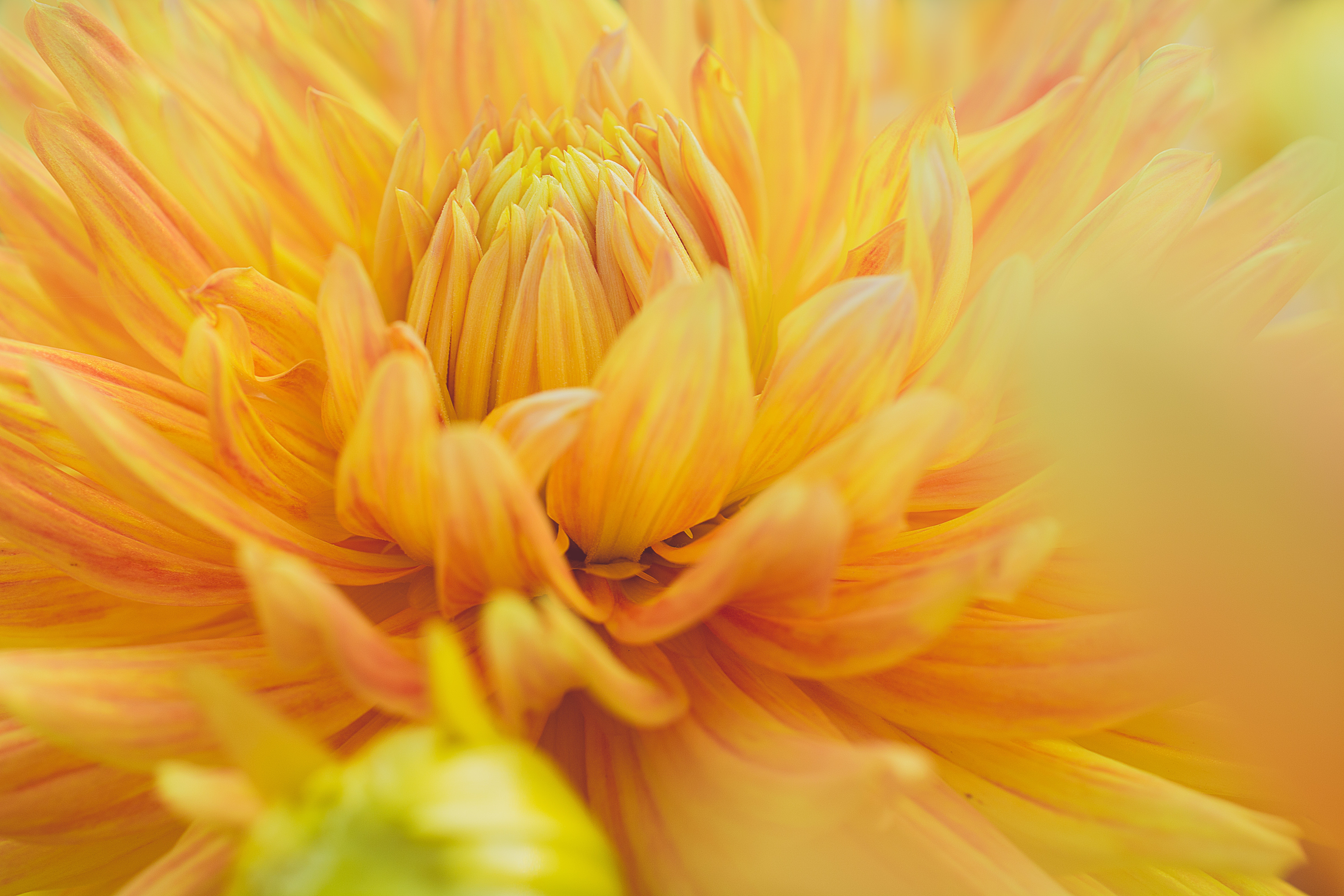 Free photo close up photography of yellow dahlia flower nature close up photography of yellow dahlia flower izmirmasajfo