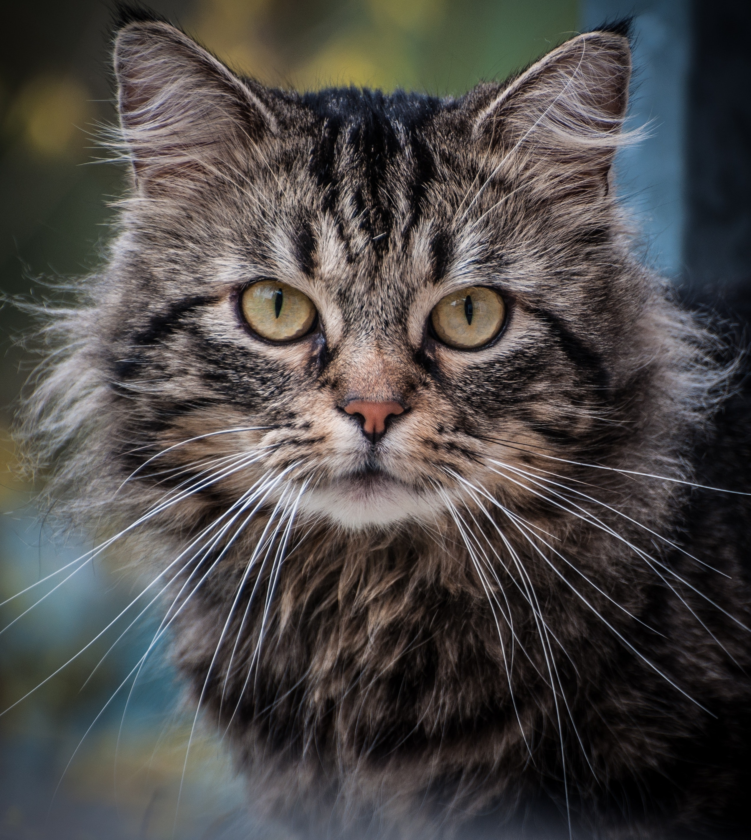Close Up Photography on Gray Cat, Kitten, Young, Whisker, Tabby, HQ Photo