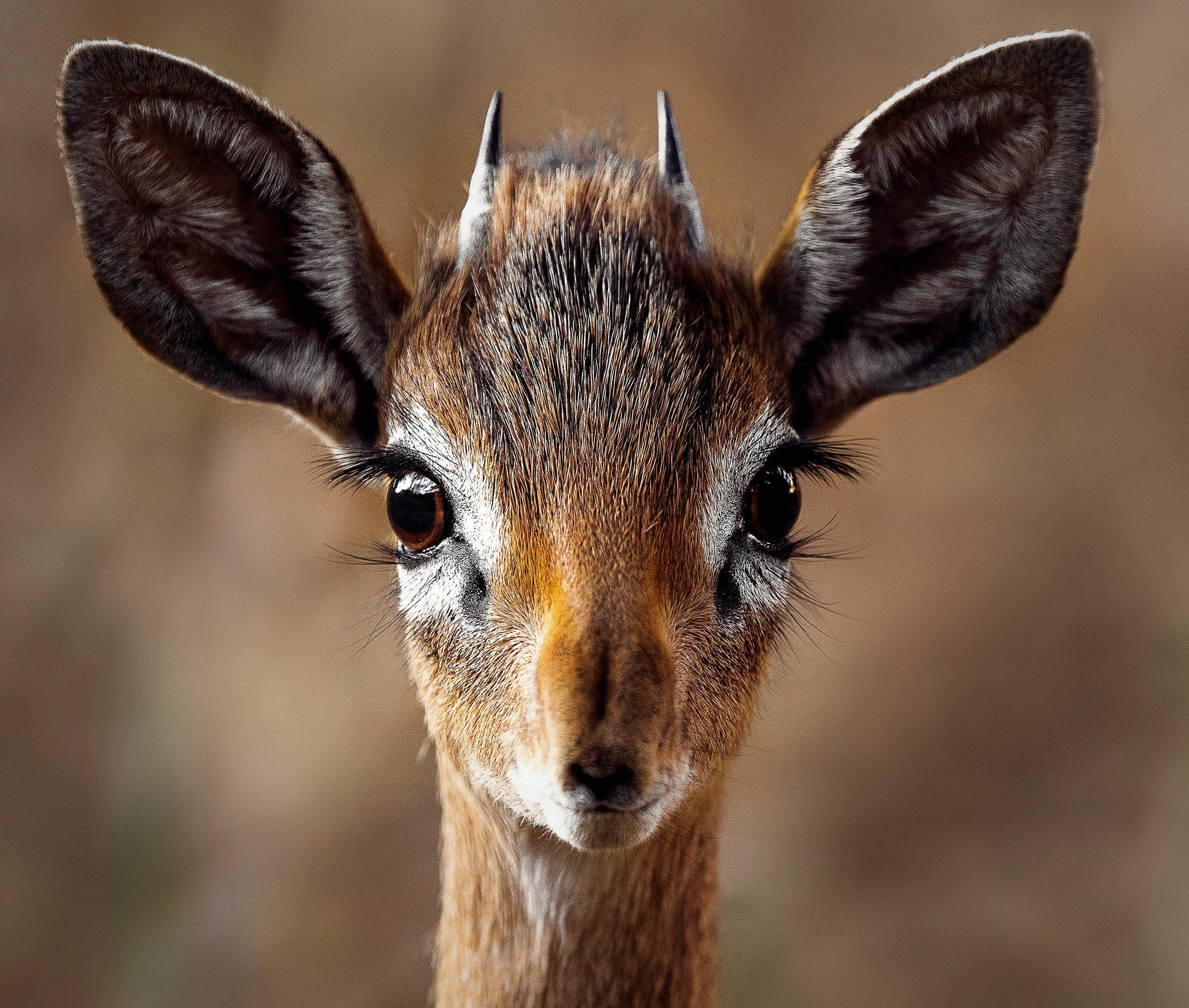 Close-up Portrait of a Antelope, Portrait, Outdoors, Safari, Wild animal, HQ Photo