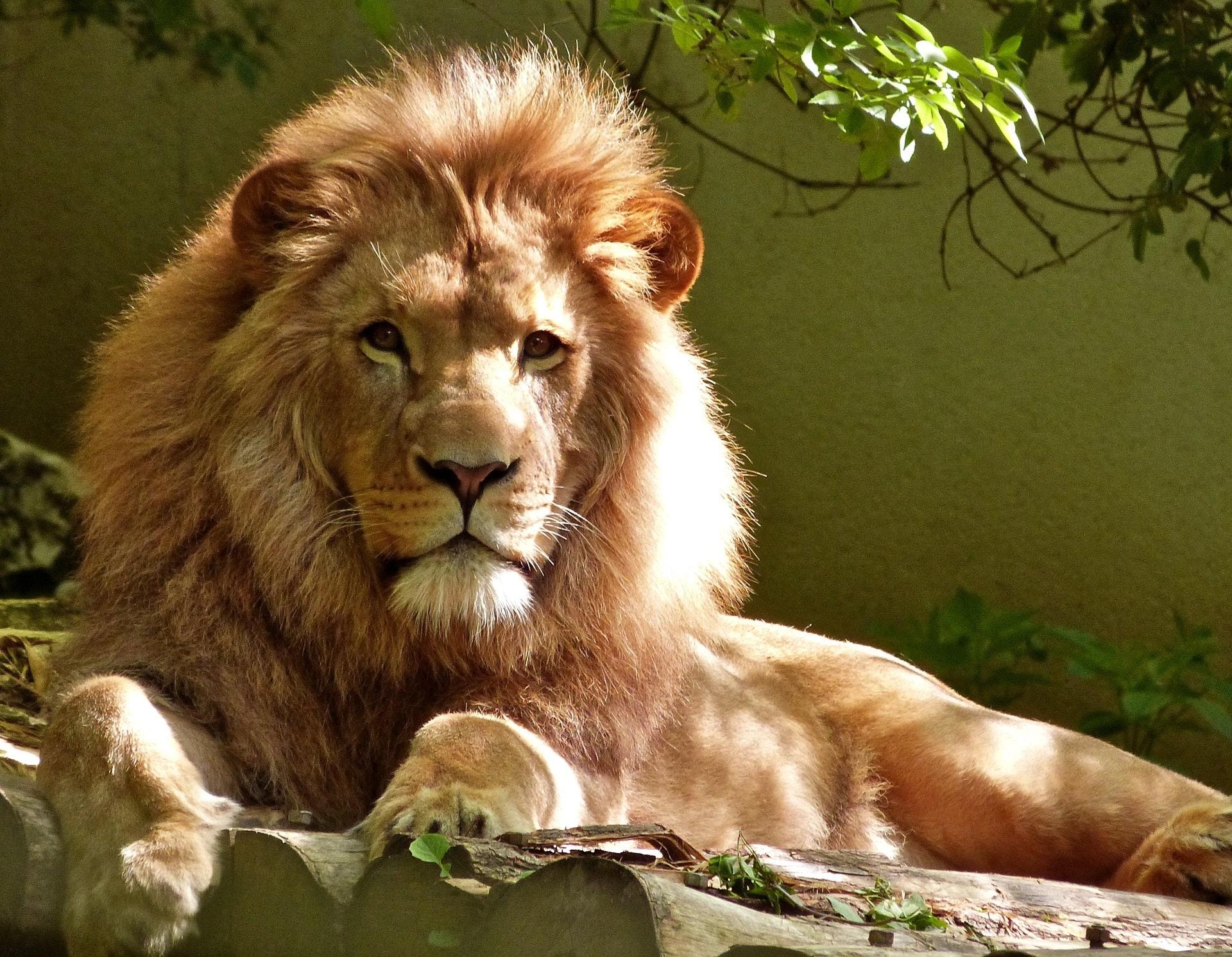 Close-up Portrait of Lion, Predator, Portrait, Mane, Resting, HQ Photo