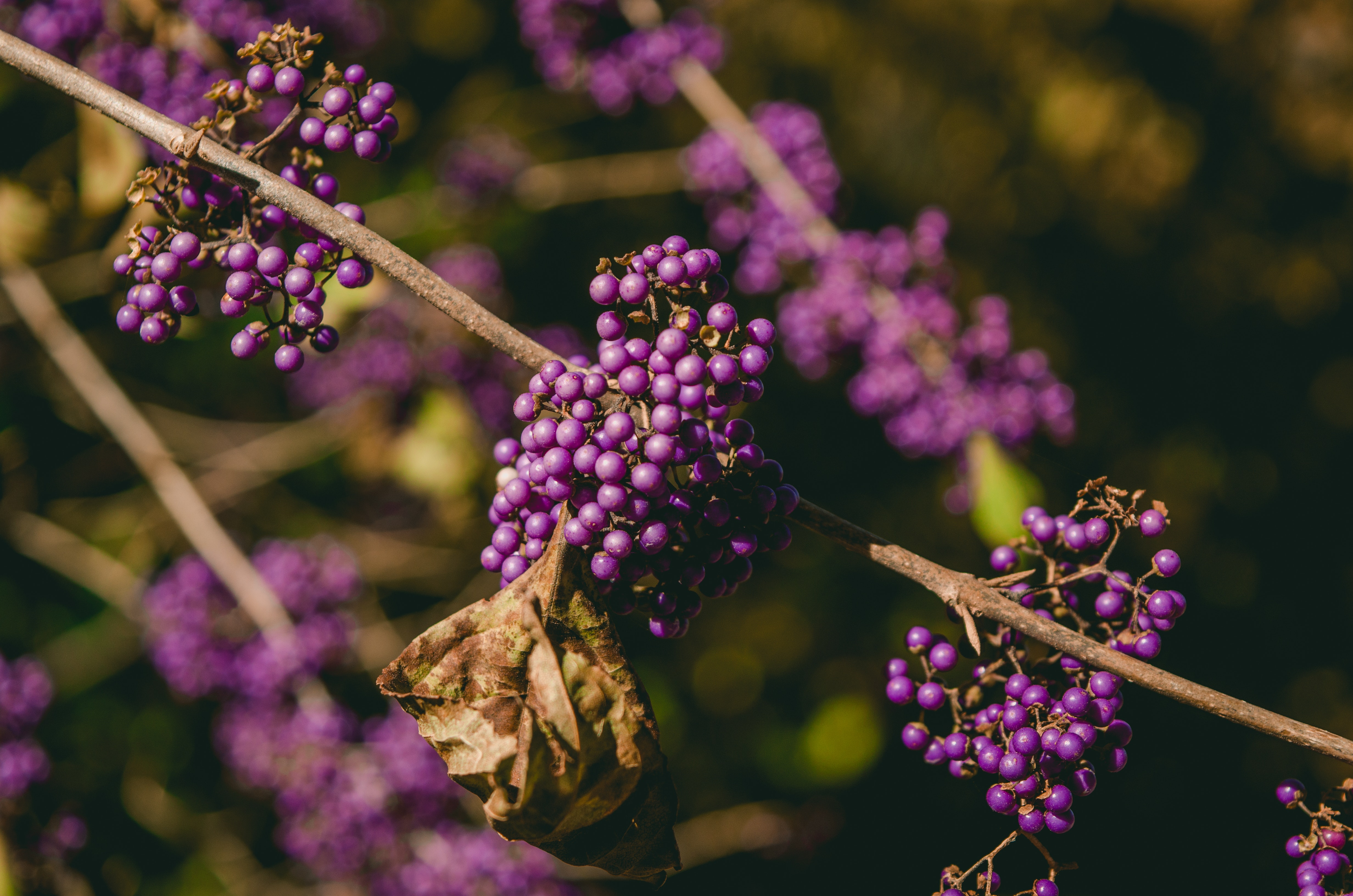 Close Up View of Purple and Brown Flower, Berries, Blur, Blurred background, Branches, HQ Photo