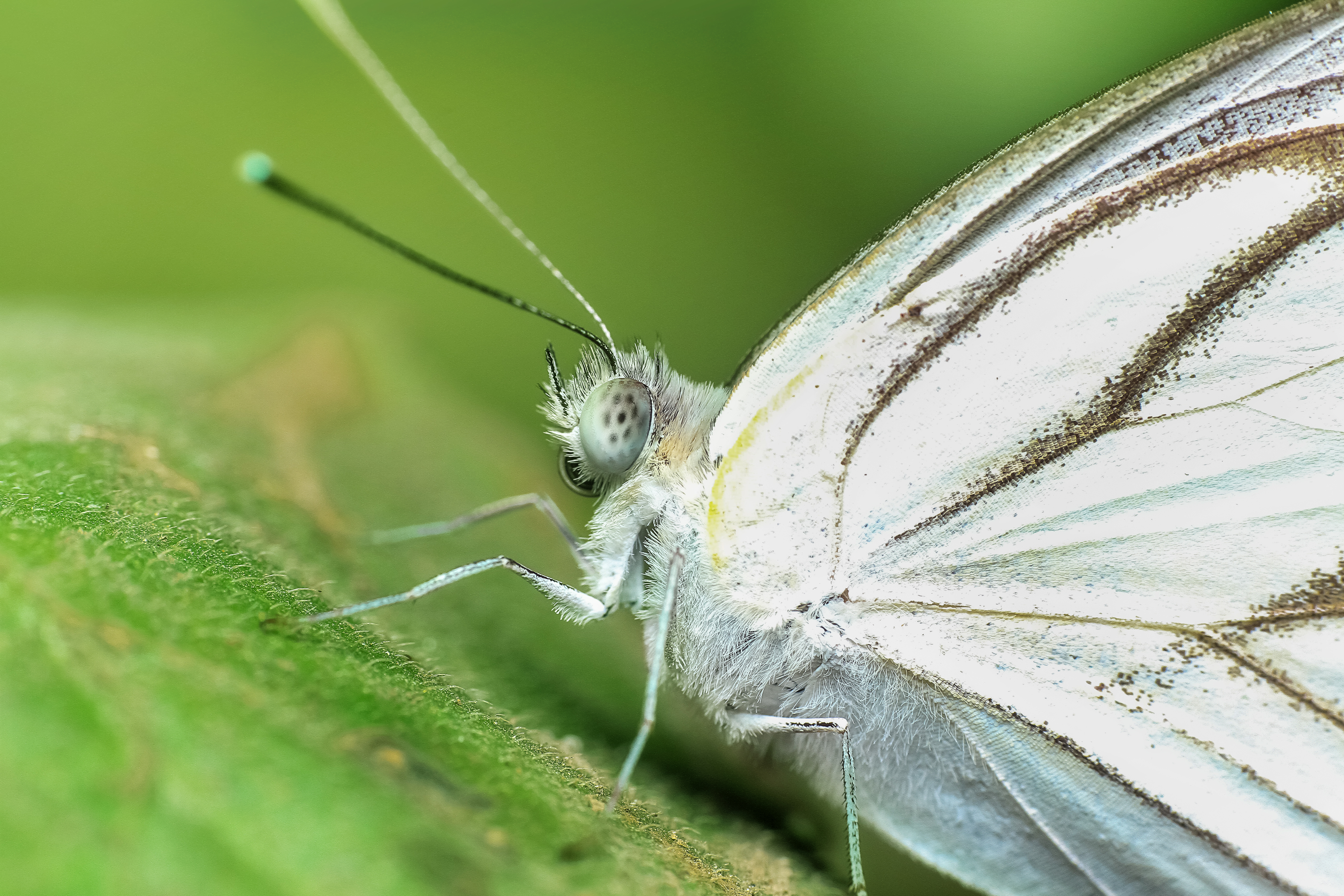 Close up white butterfly photo