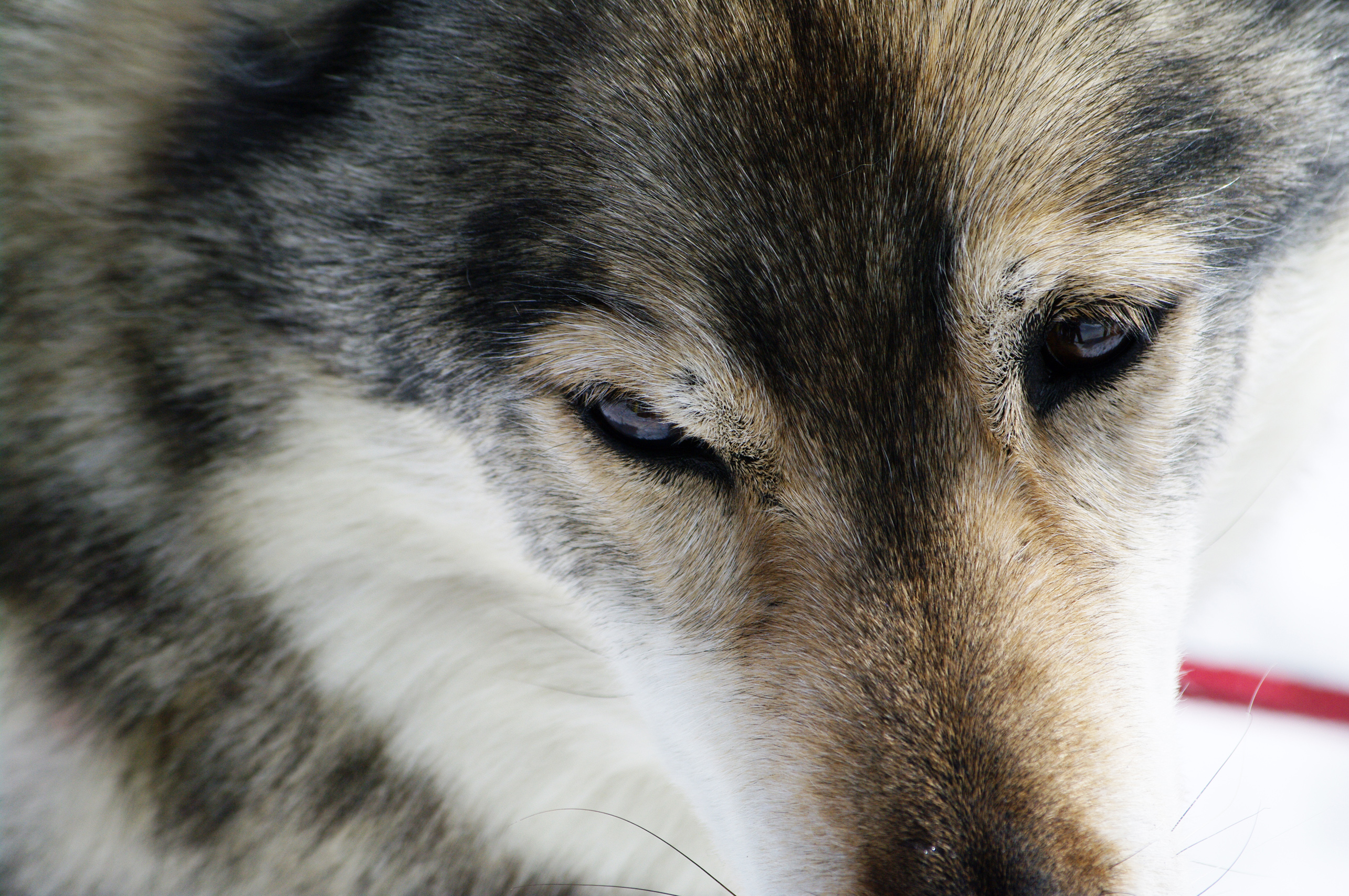 Close up with a husky, Cold, Dog, Dogs, Experience, HQ Photo