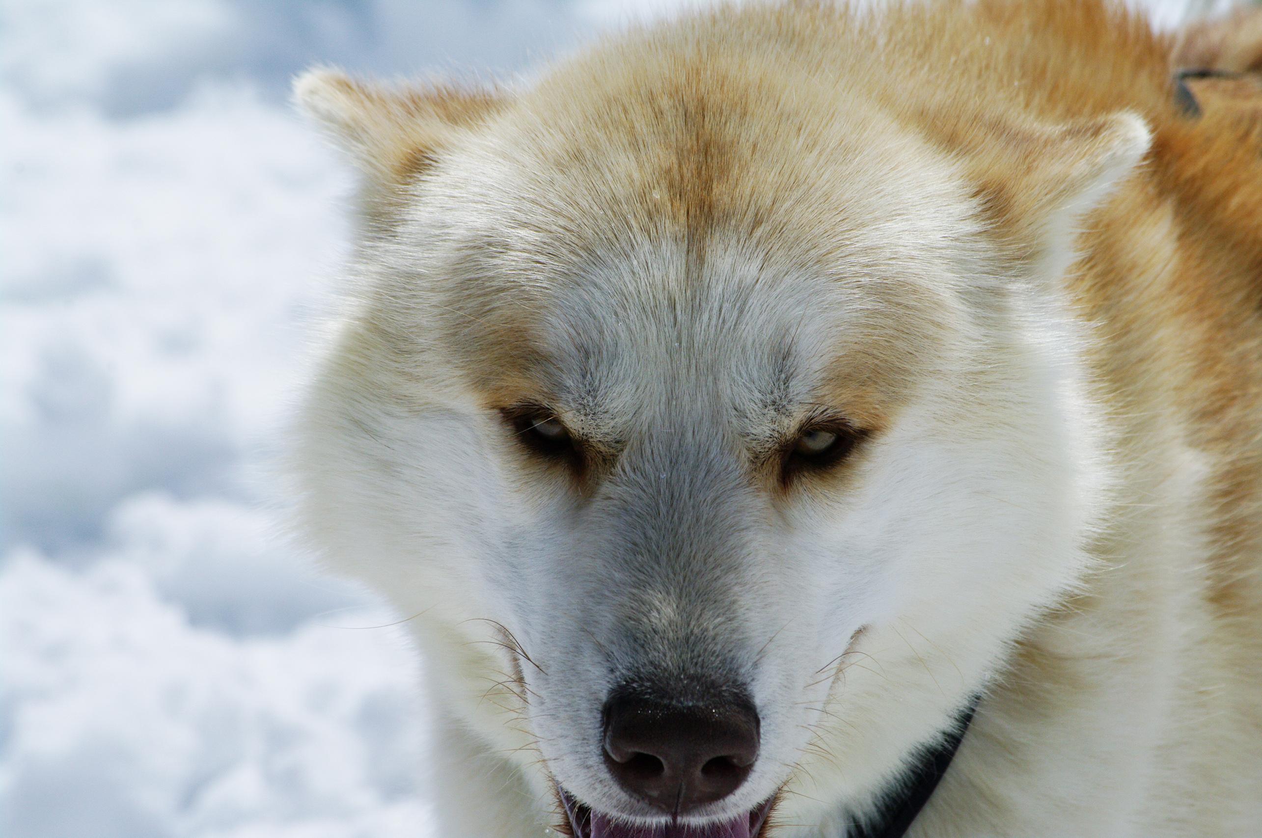 Close up with a husky photo