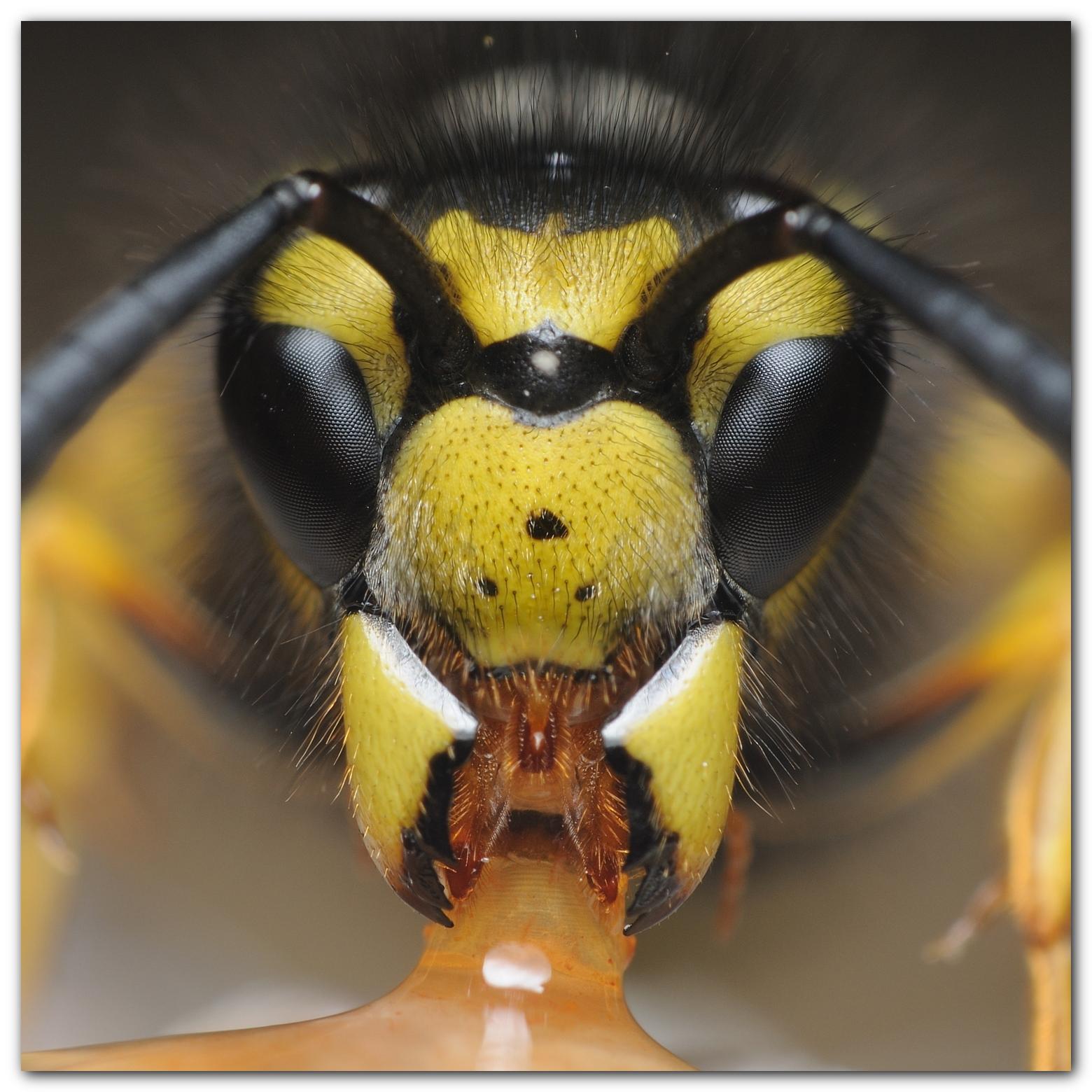 Close wasp photo