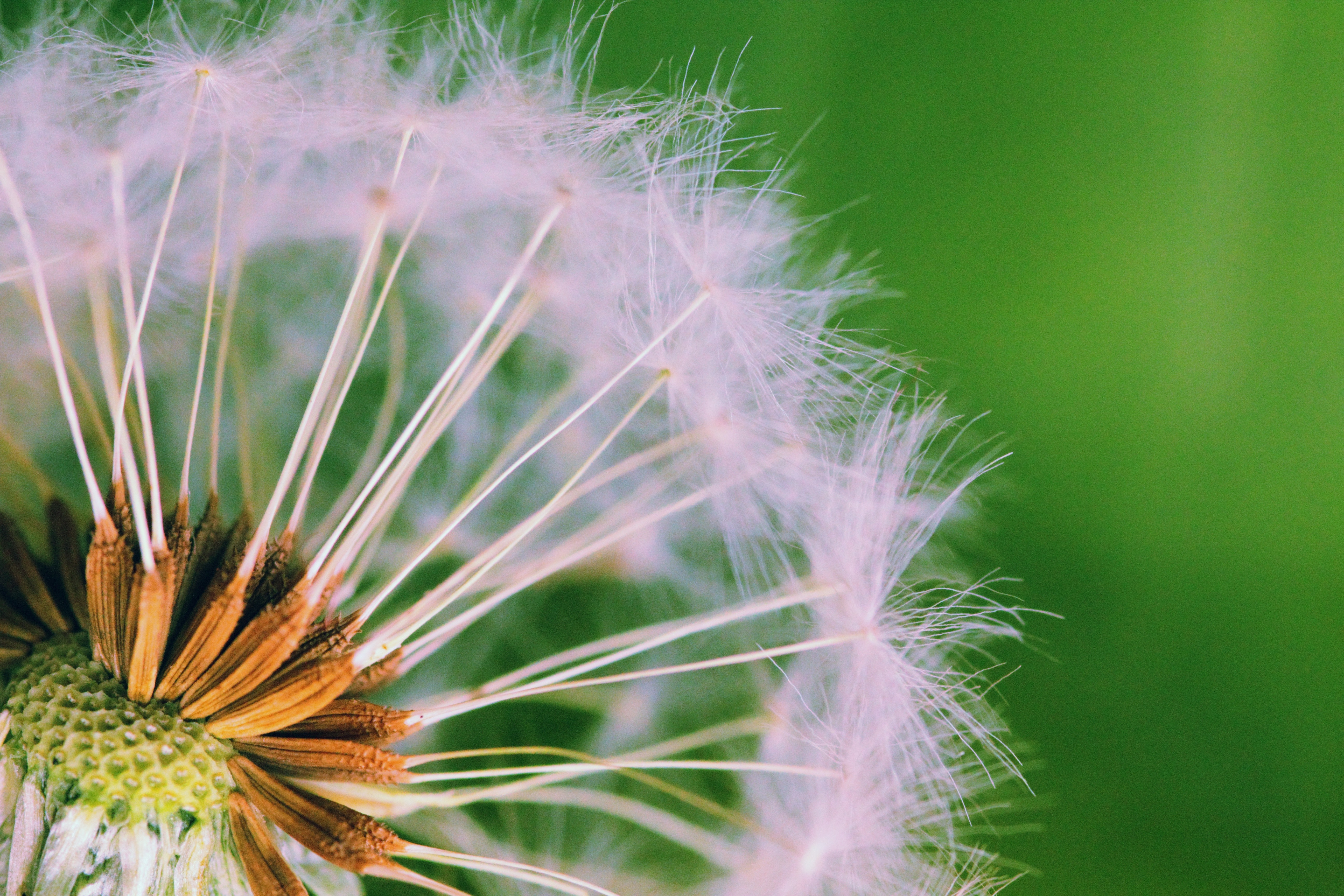 Closed Up Photograph of Dandelion Seeds, Blowball, Close-up, Dandelion, Dandelion seeds, HQ Photo
