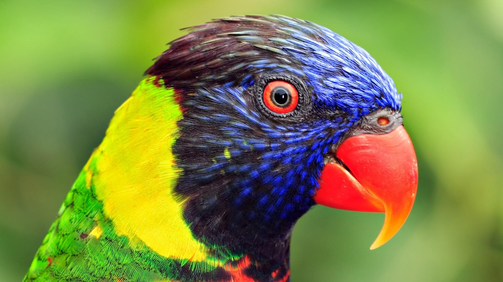 Close-up birds animals parrots wallpaper   1920x1080   218547 ...
