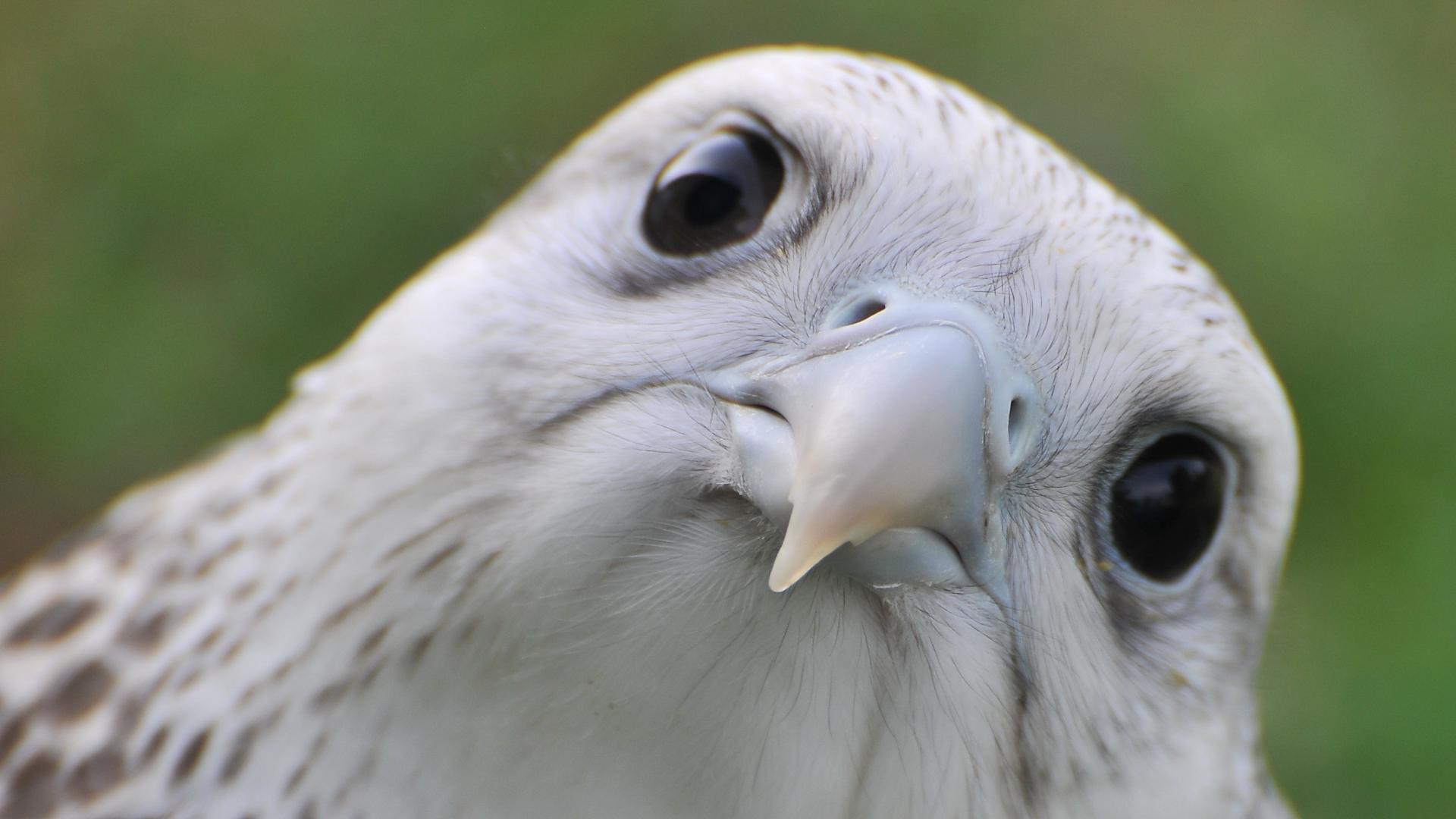 Close-up animals falcon bird birds wallpaper   (66360)