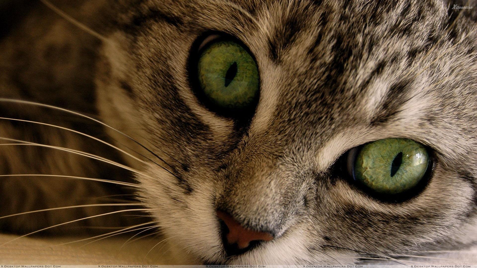 Dangerous Cat Face Closeup Wallpaper