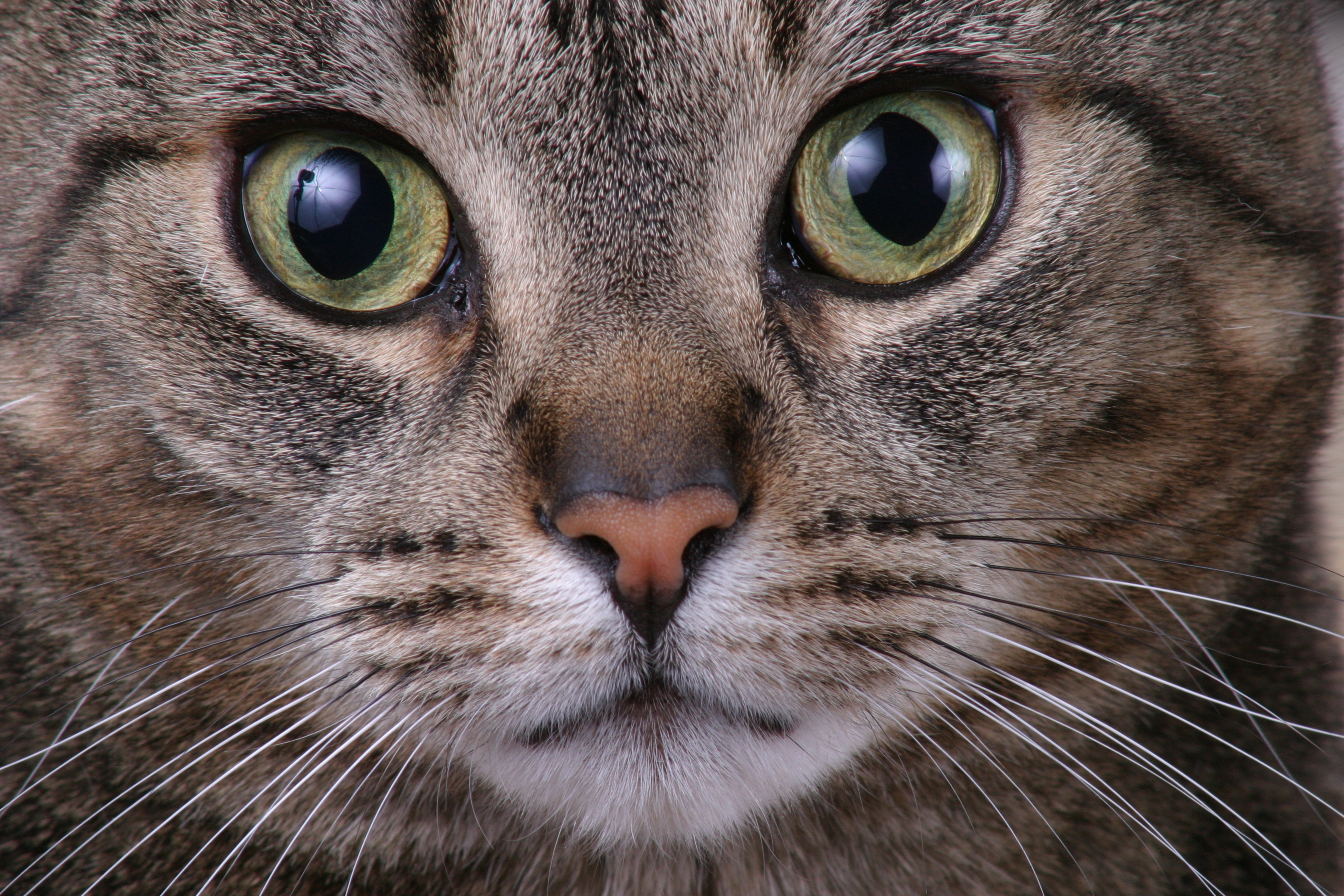 Close Up Cat Wallpaper | 3072x2048 | ID:26074 - WallpaperVortex.com