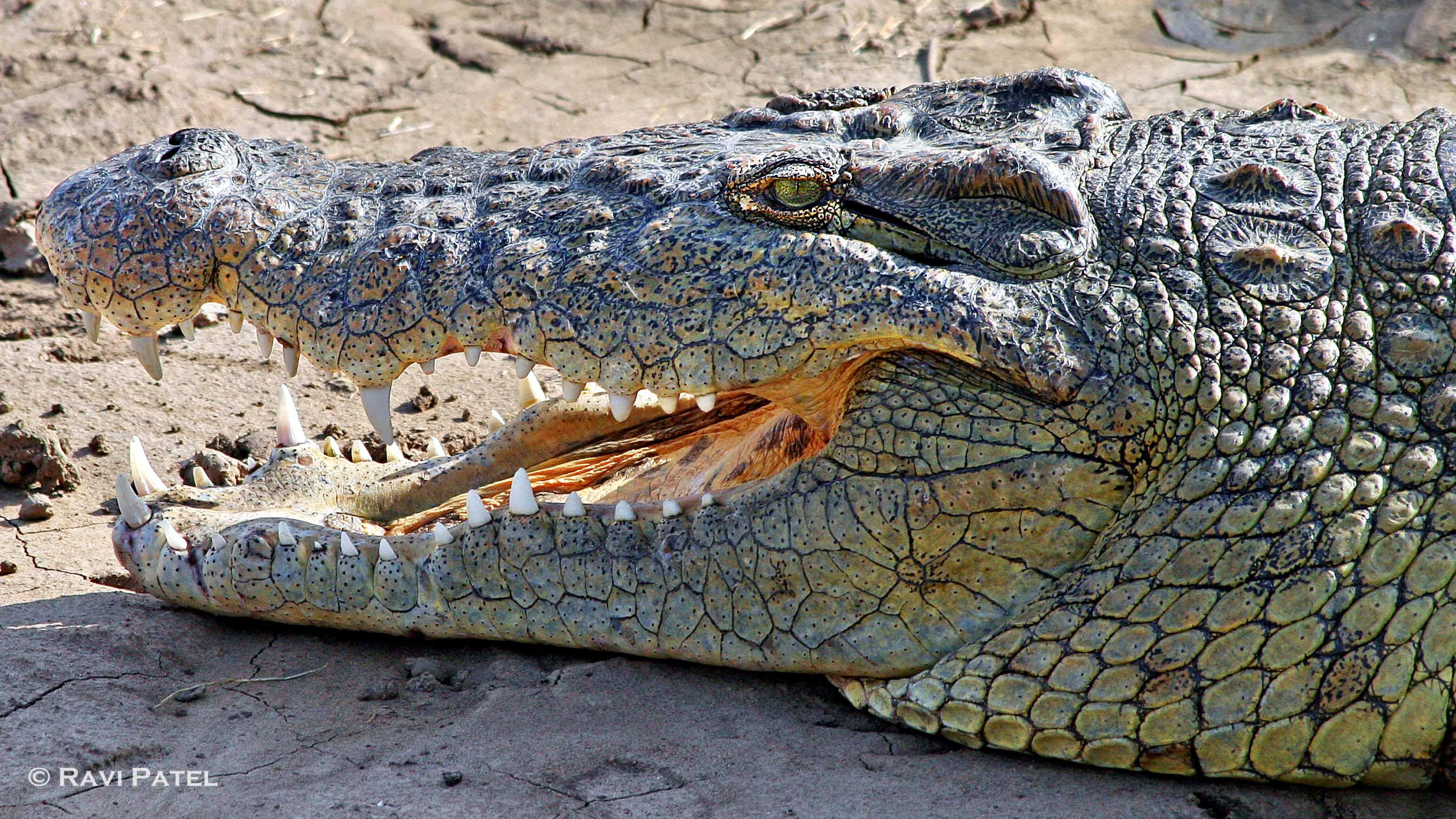 Nile Crocodile Up Close | Photos by Ravi