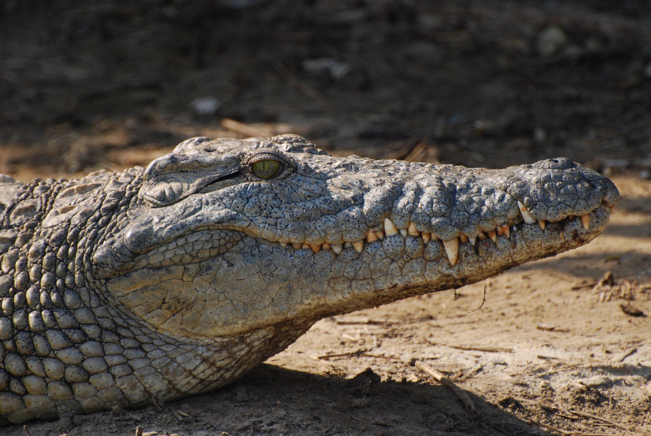 Crocodile - Close Up by krazy3 on DeviantArt