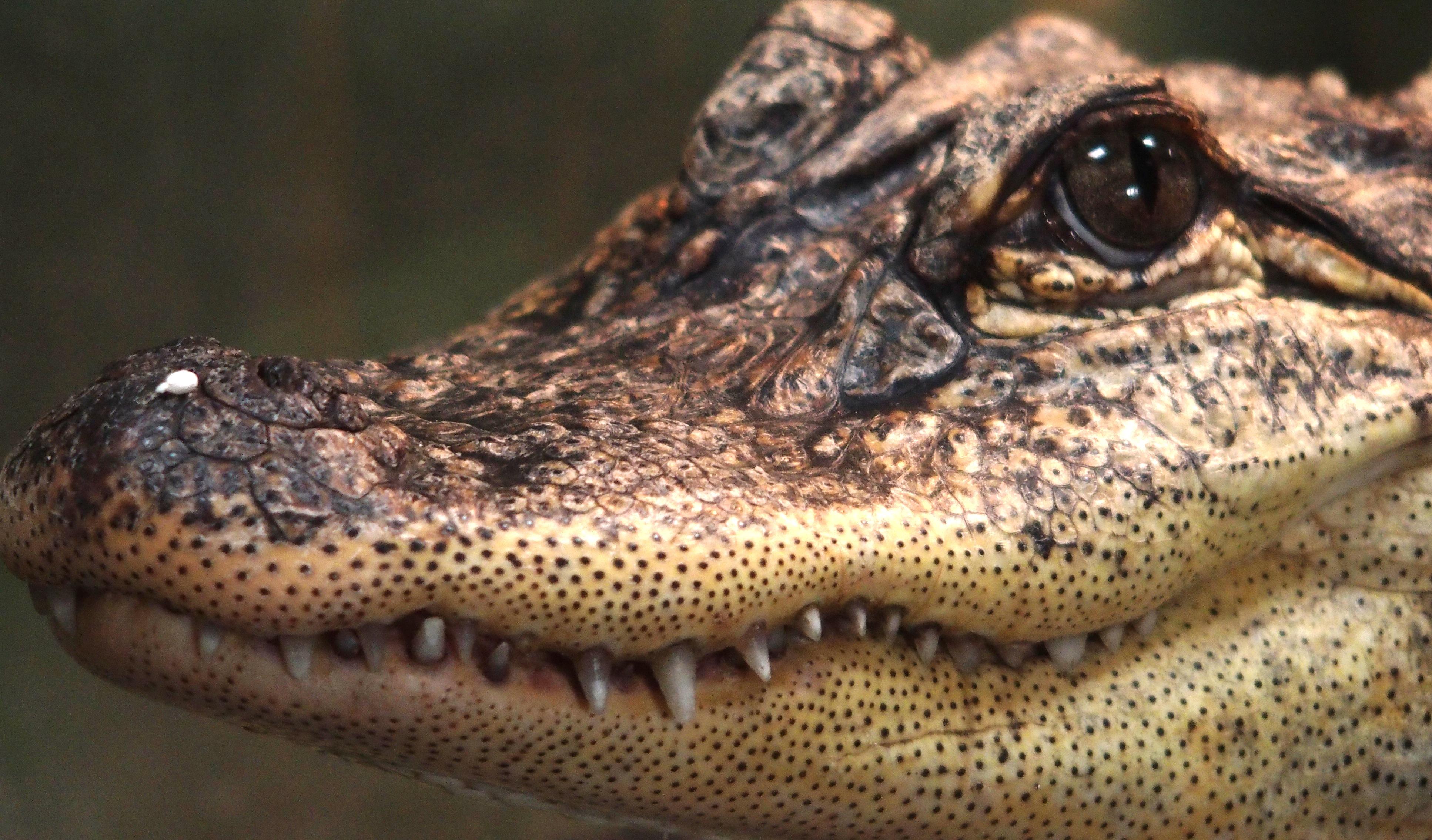 Alligator vs Crocodile | zoologicalsocietyofauckland