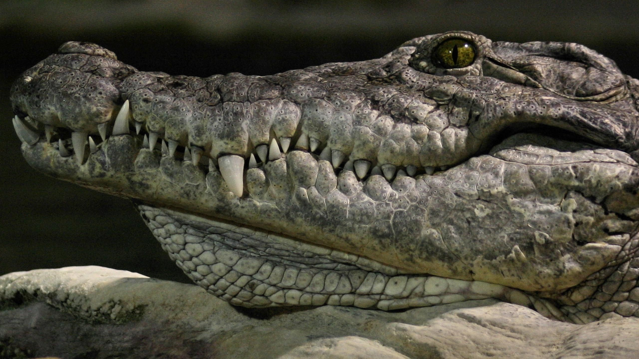 american crocodile | Crocodilians | Pinterest | American crocodile ...