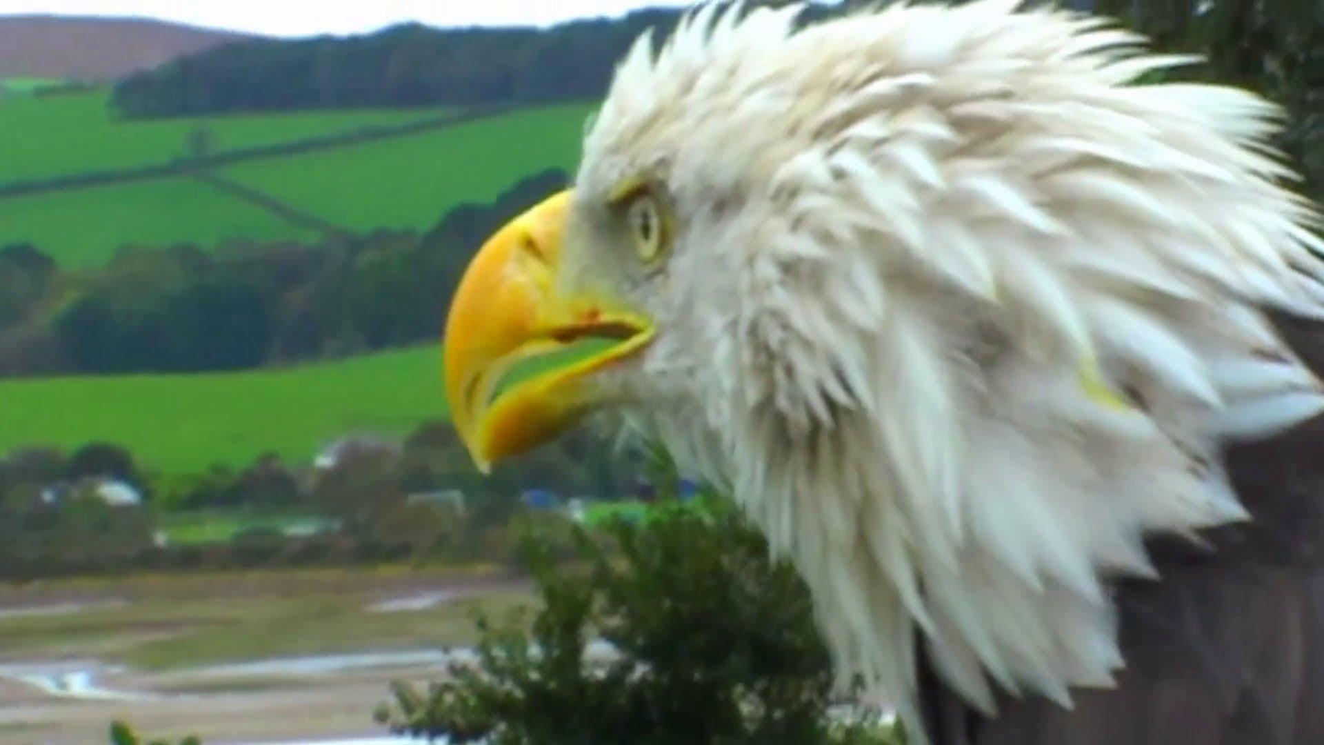 American Bald Eagle Close Up - YouTube