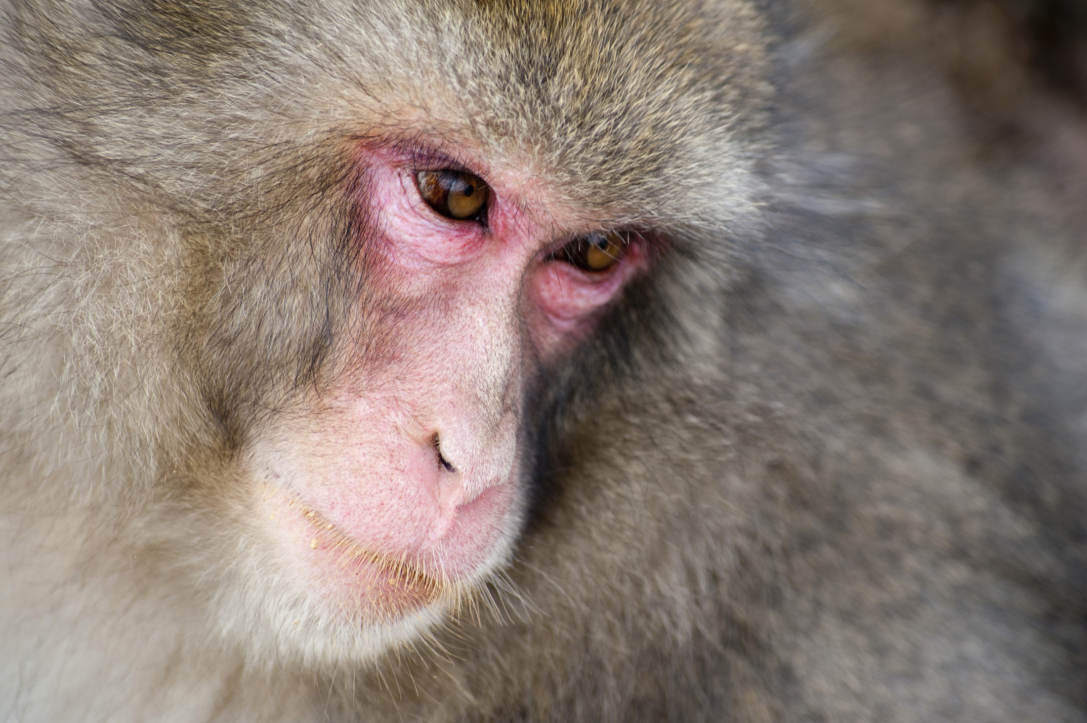 Free Stock photo of snow monkey face | Photoeverywhere