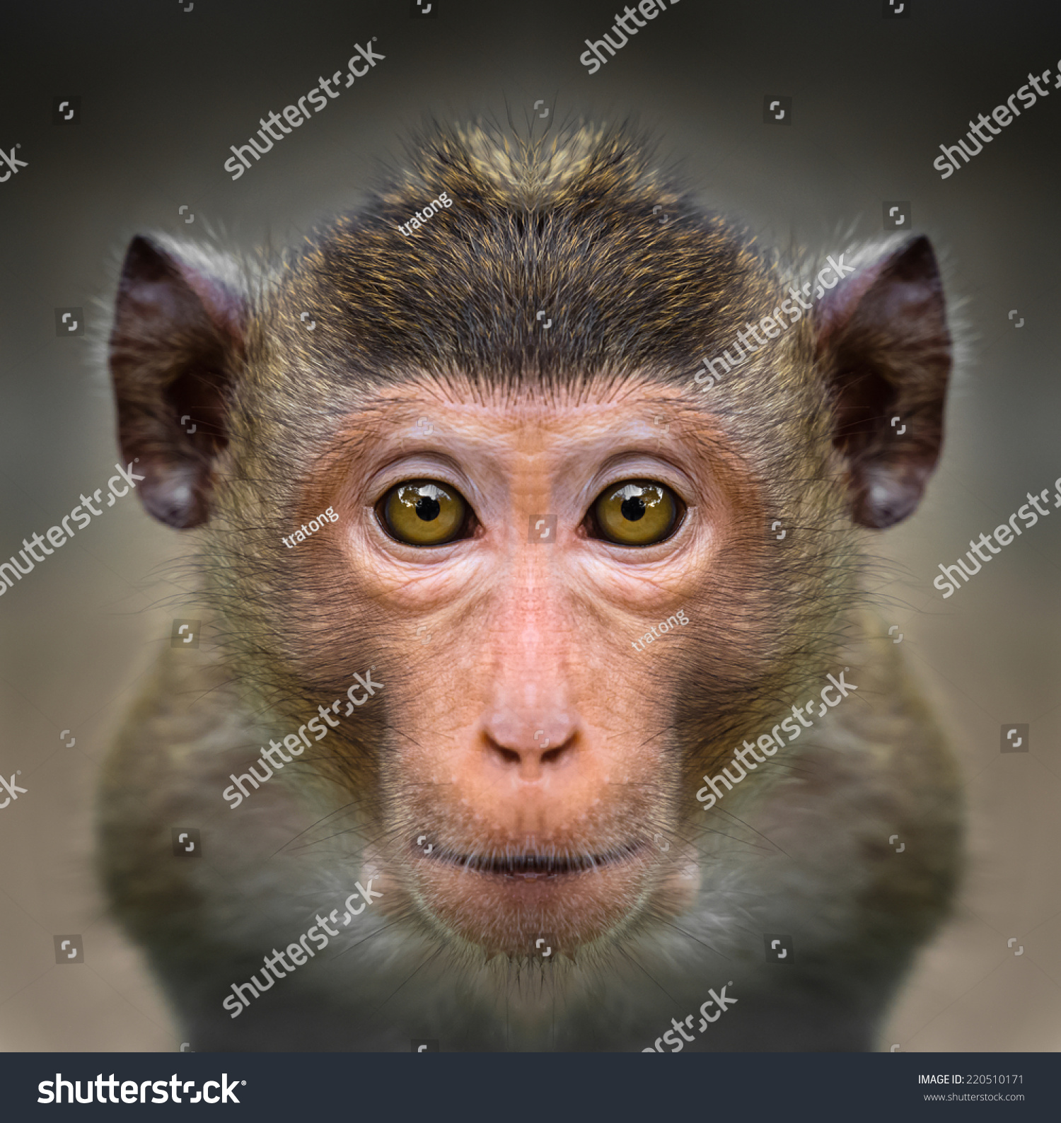 Monkey Face Close Stock Photo (Royalty Free) 220510171 - Shutterstock