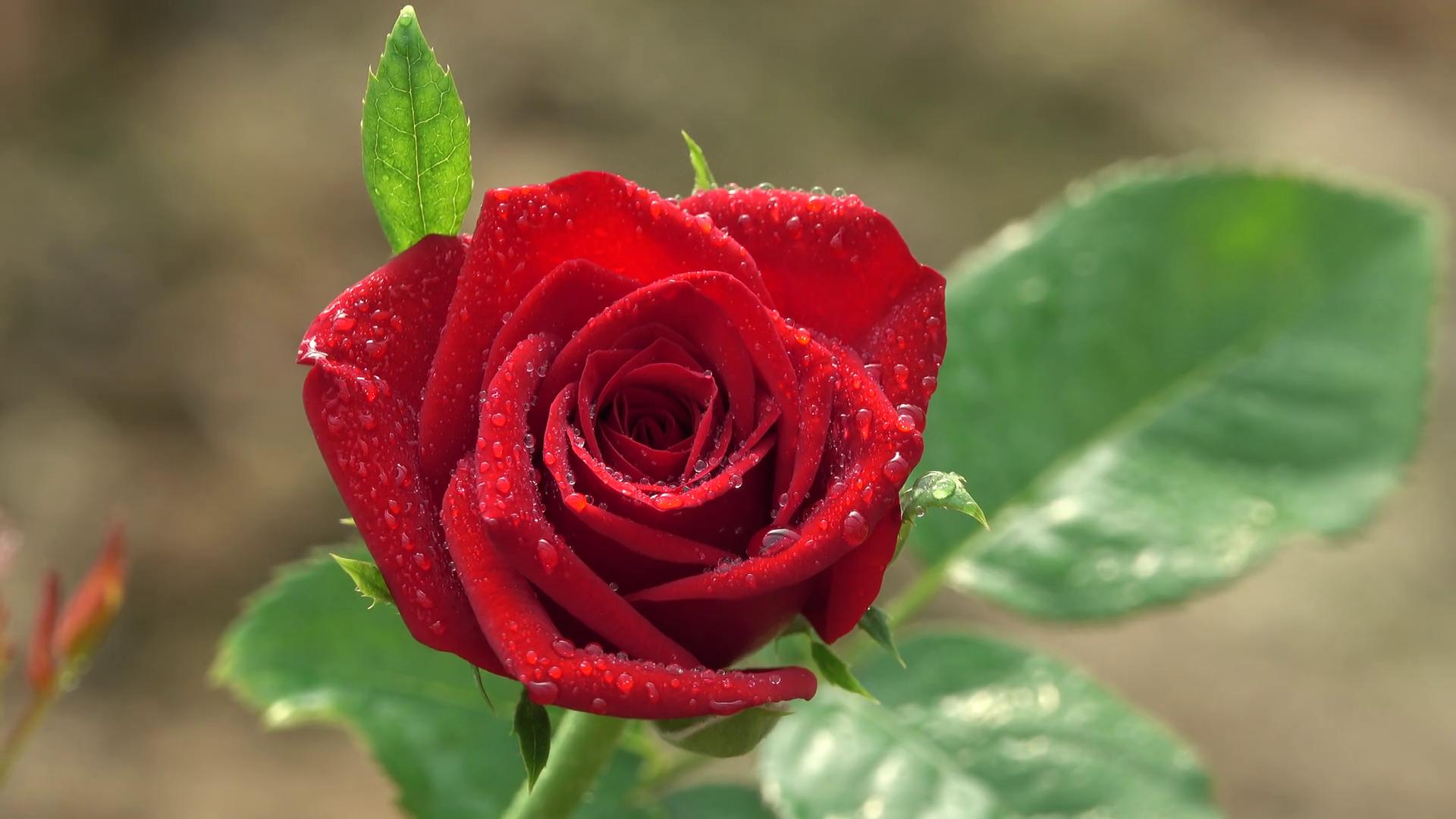 Most Beautiful Red Rose Closeup with Water Drops 4K Nature Bokeh ...