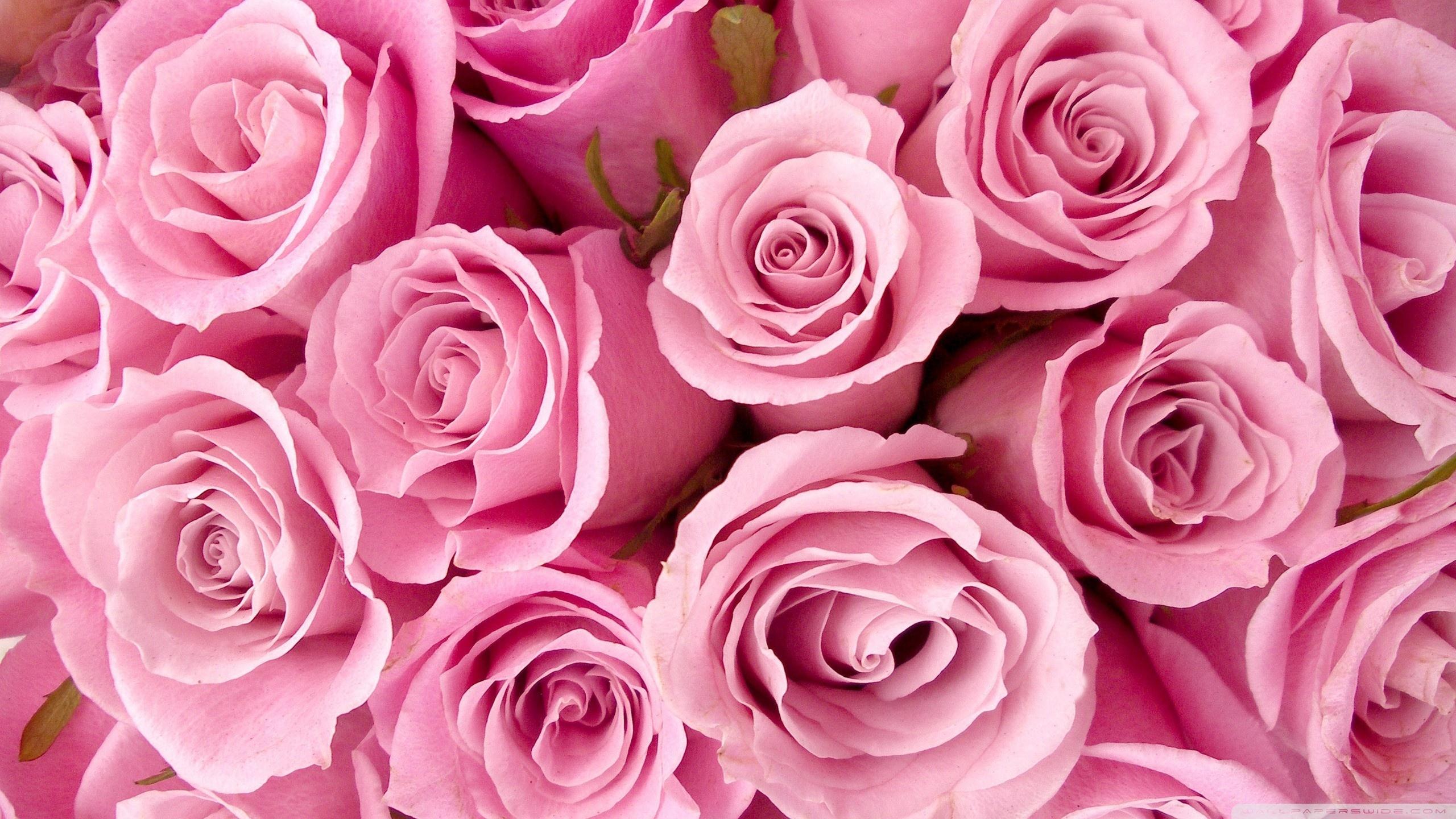 Pink Roses Close-up ❤ 4K HD Desktop Wallpaper for 4K Ultra HD TV ...