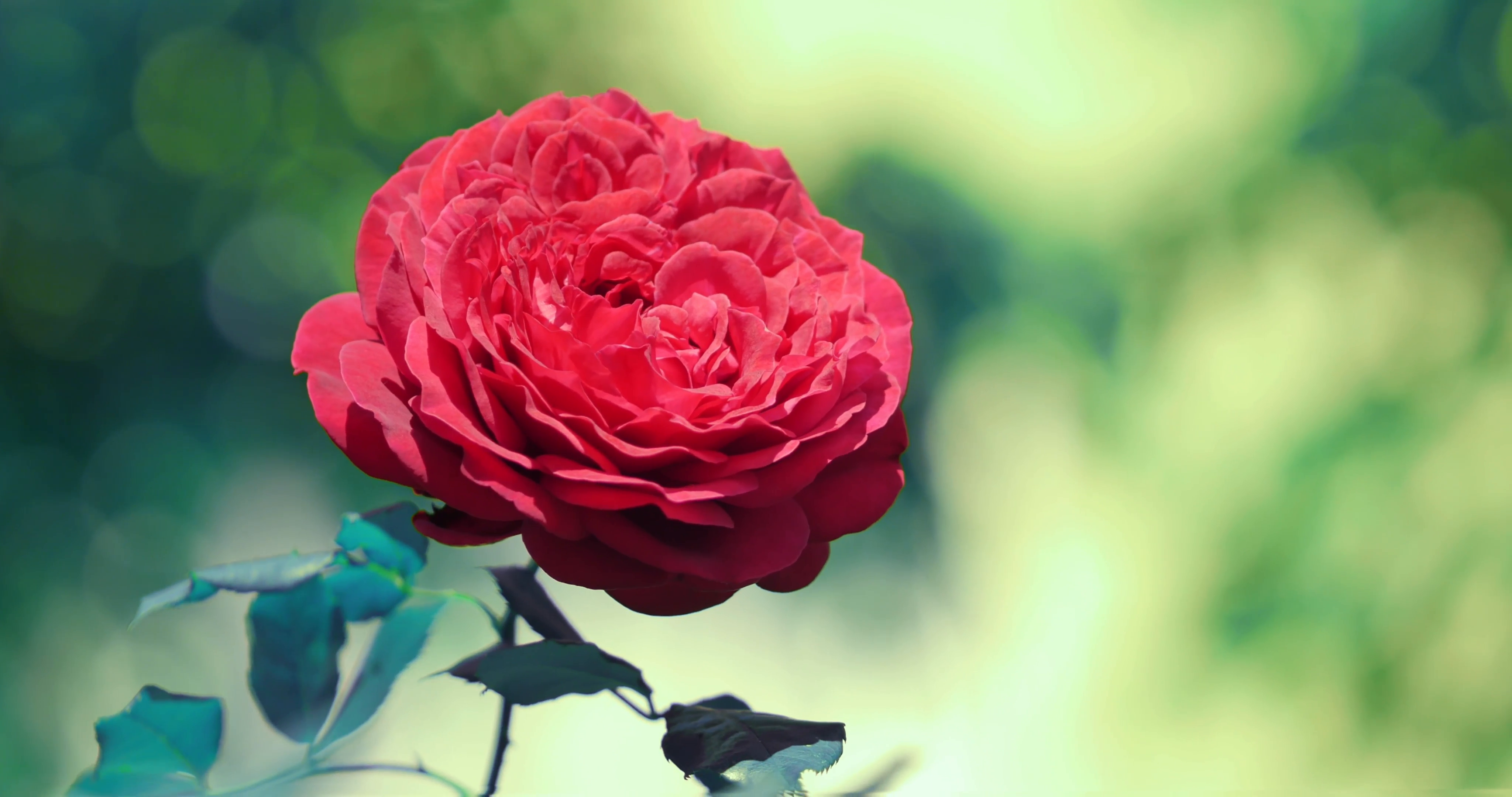Beautiful red rose flower in garden, closeup. 4K UHD. Stock Video ...