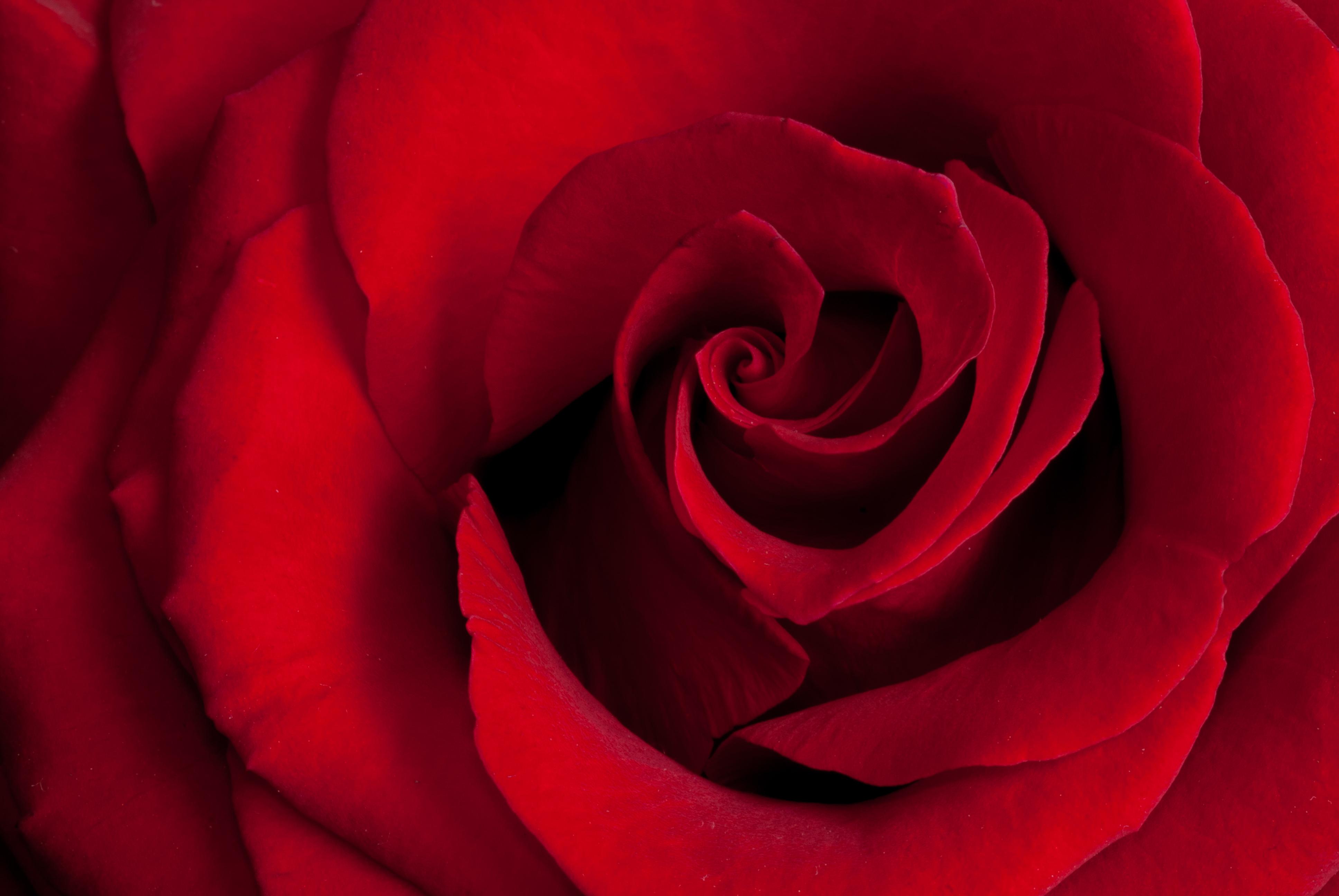 Romantic Beautiful red roses photos
